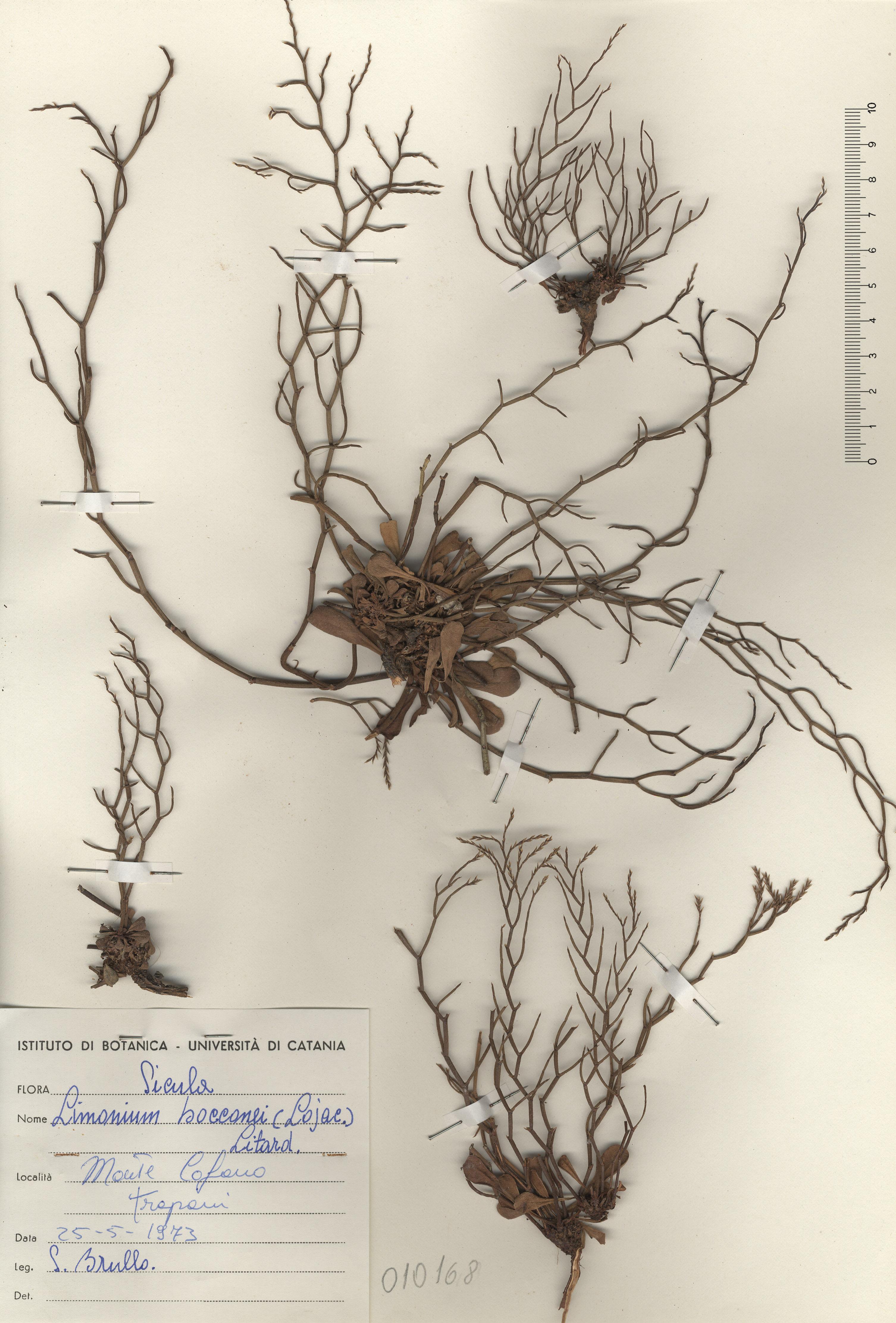 © Hortus Botanicus Catinensis - Herb. sheet 010168<br>