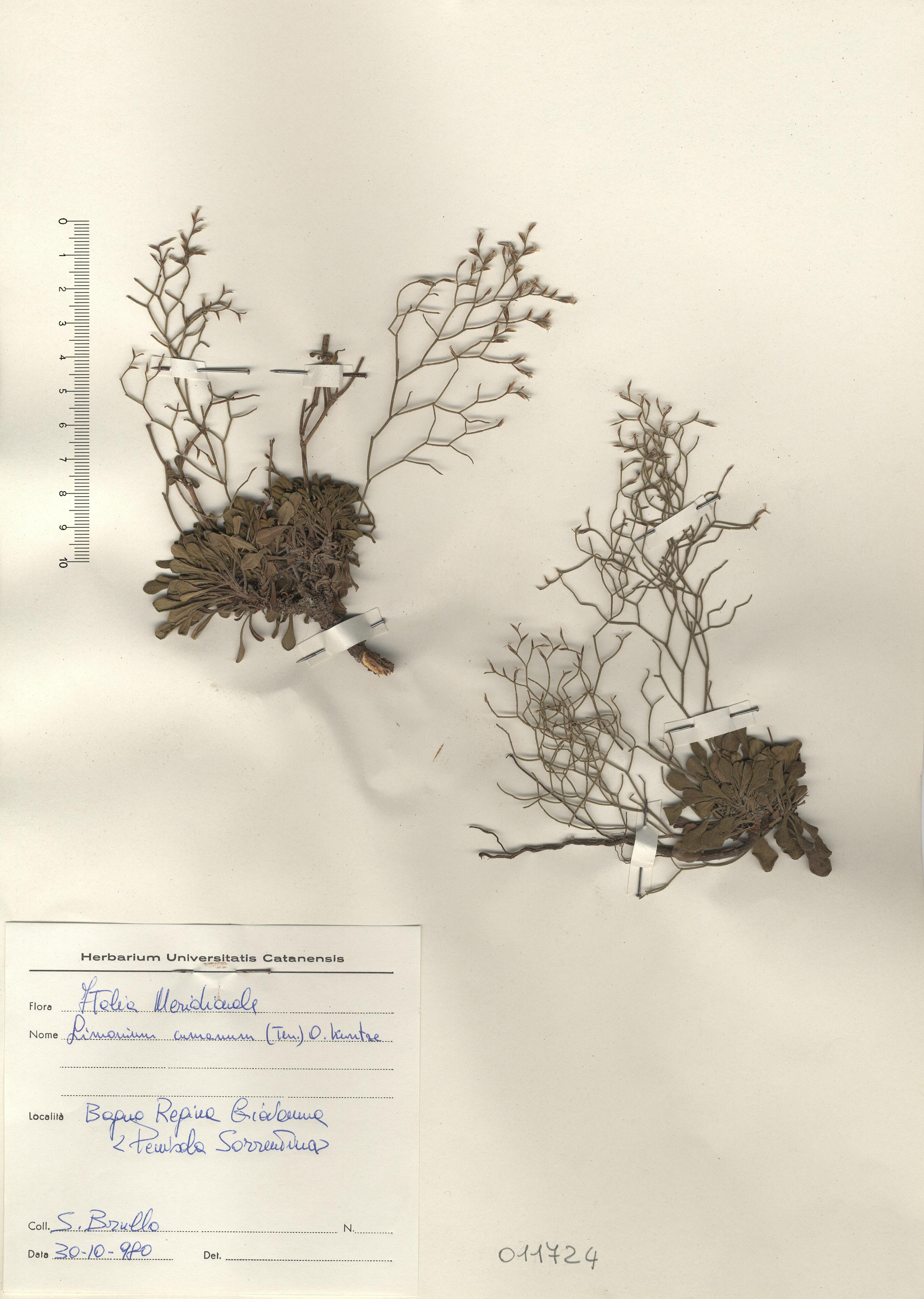 © Hortus Botanicus Catinensis - Herb. sheet 011724<br>