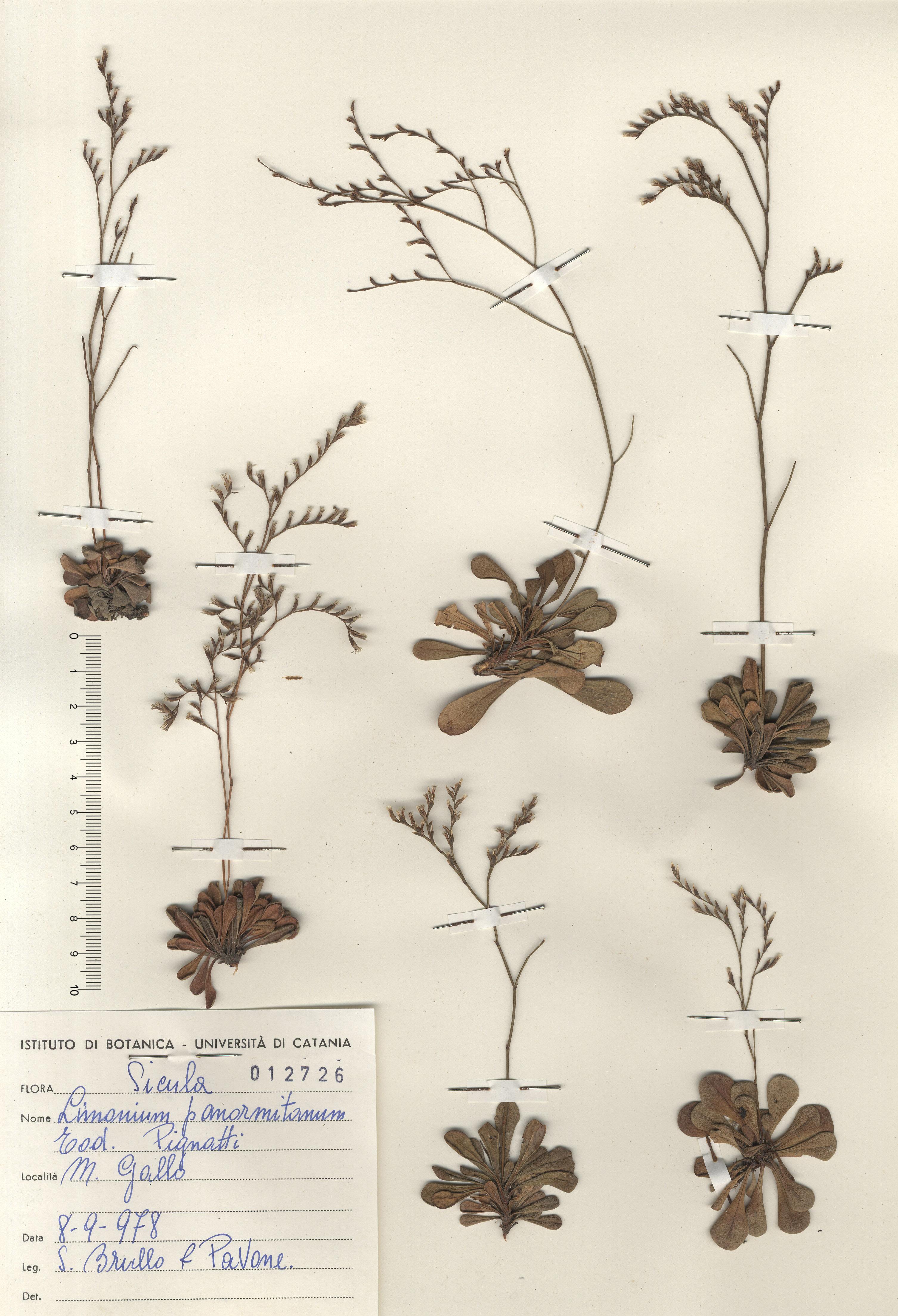 © Hortus Botanicus Catinensis - Herb. sheet 012726<br>