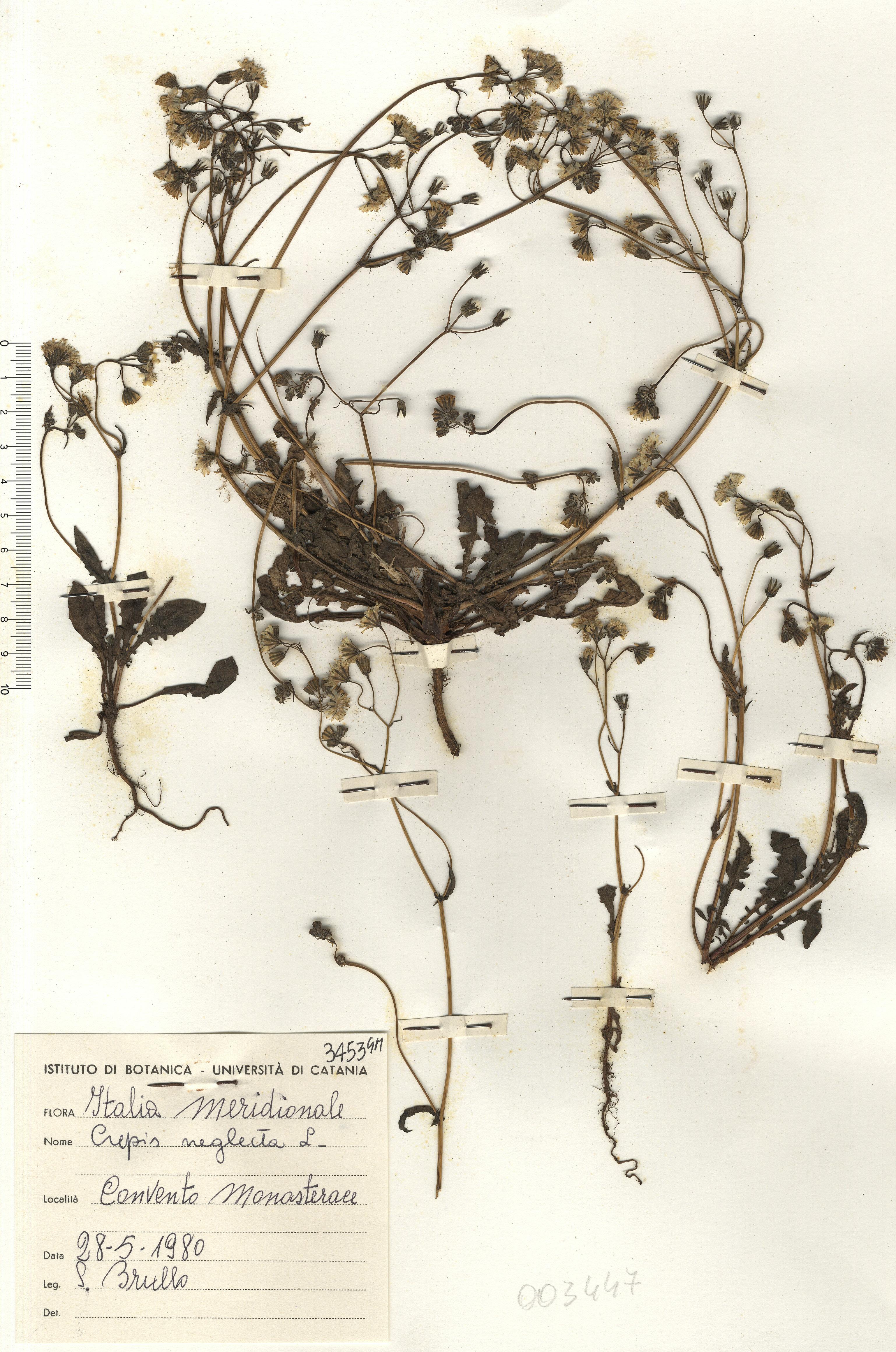 © Hortus Botanicus Catinensis - Herb. sheet 003447<br>