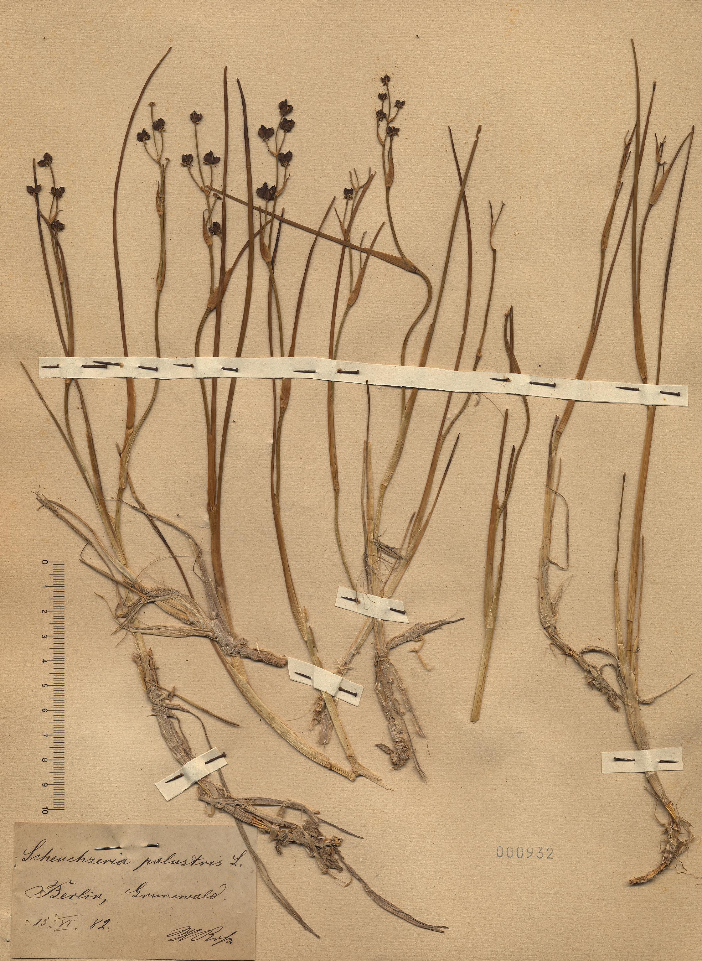 © Hortus Botanicus Catinensis - Herb. sheet 000932<br>