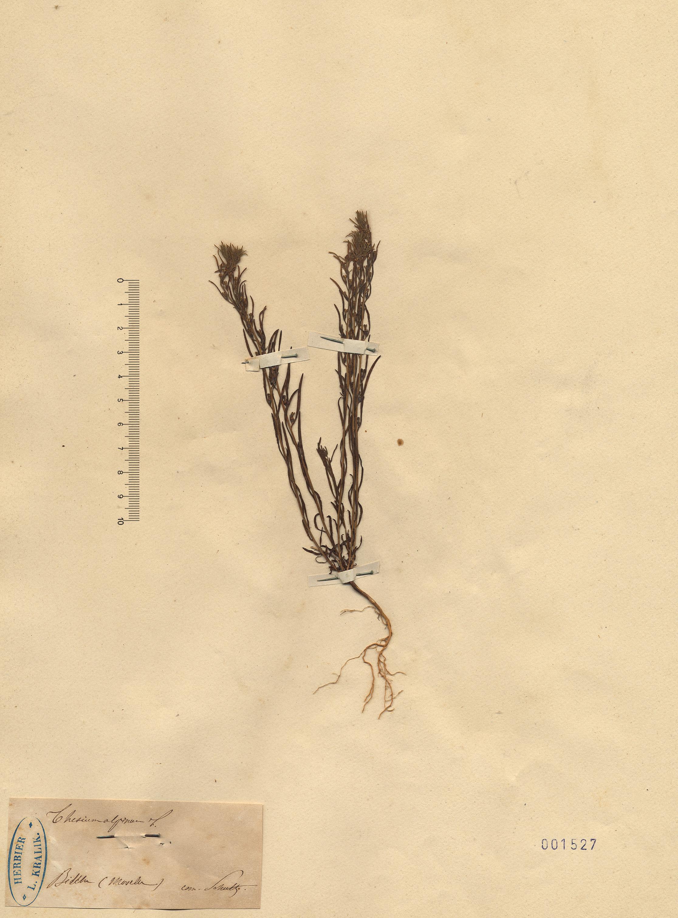 © Hortus Botanicus Catinensis - Herb. sheet 001527<br>