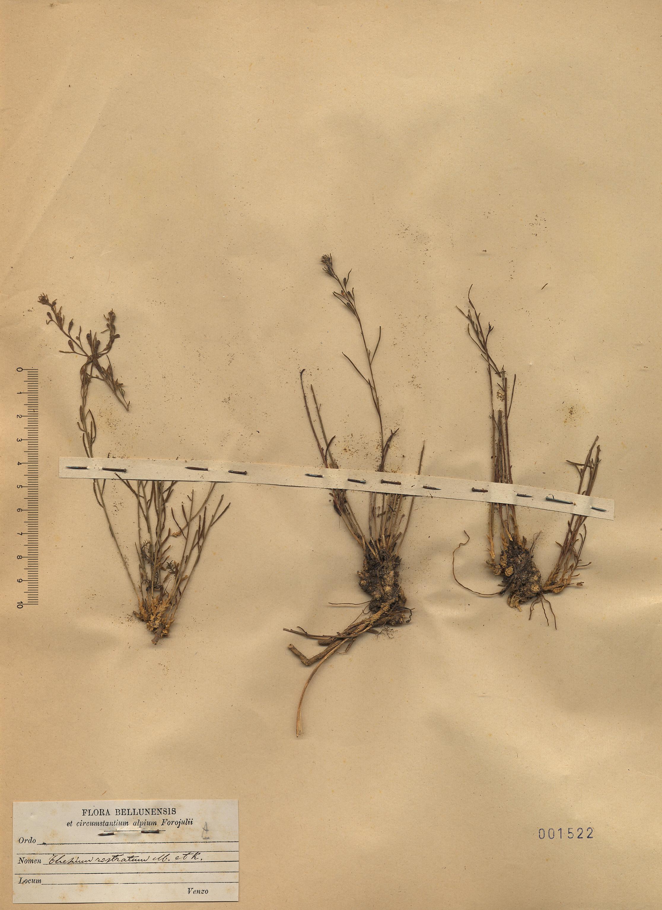 © Hortus Botanicus Catinensis - Herb. sheet 001522<br>
