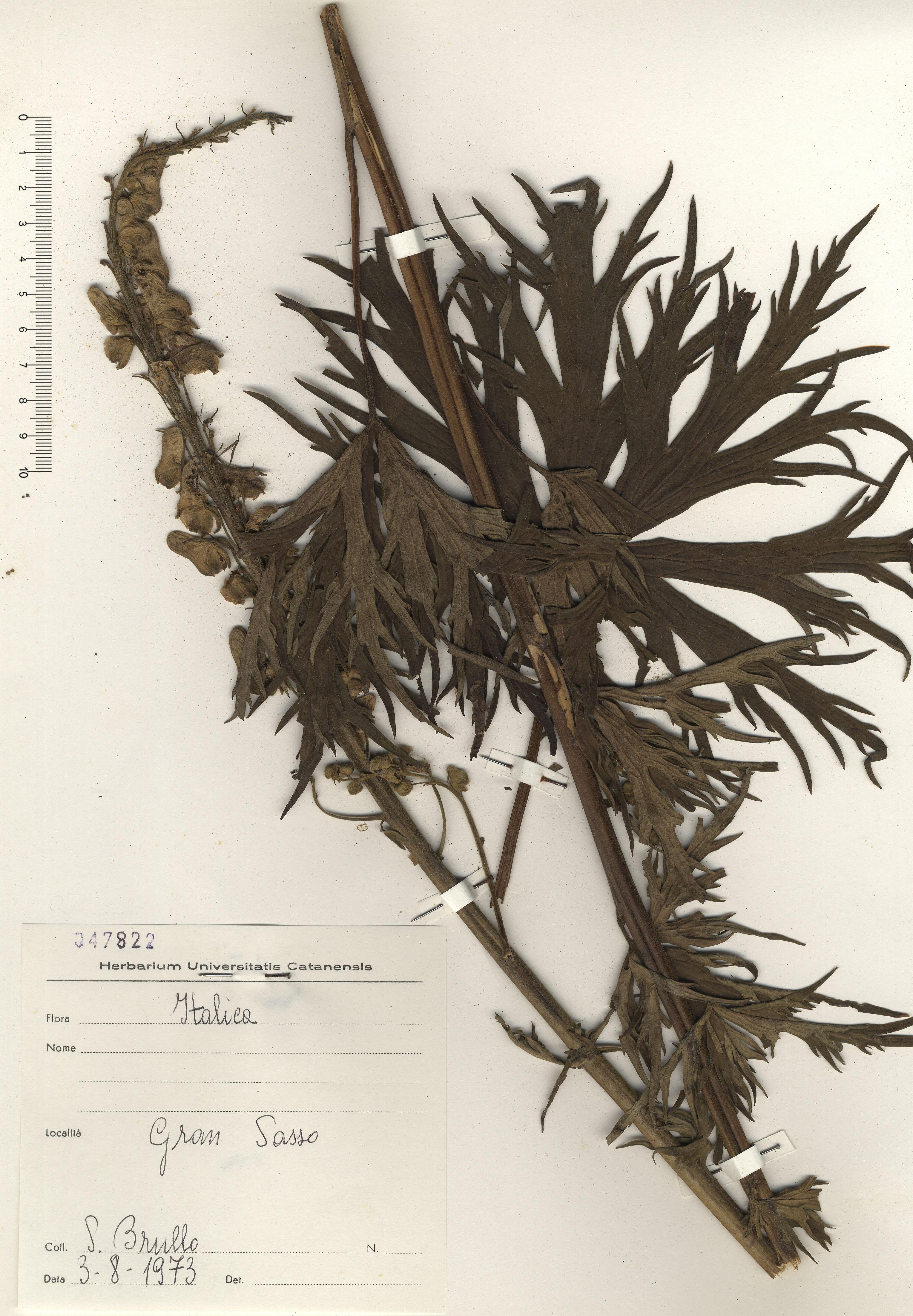 © Hortus Botanicus Catinensis - Herb. sheet 047882<br>