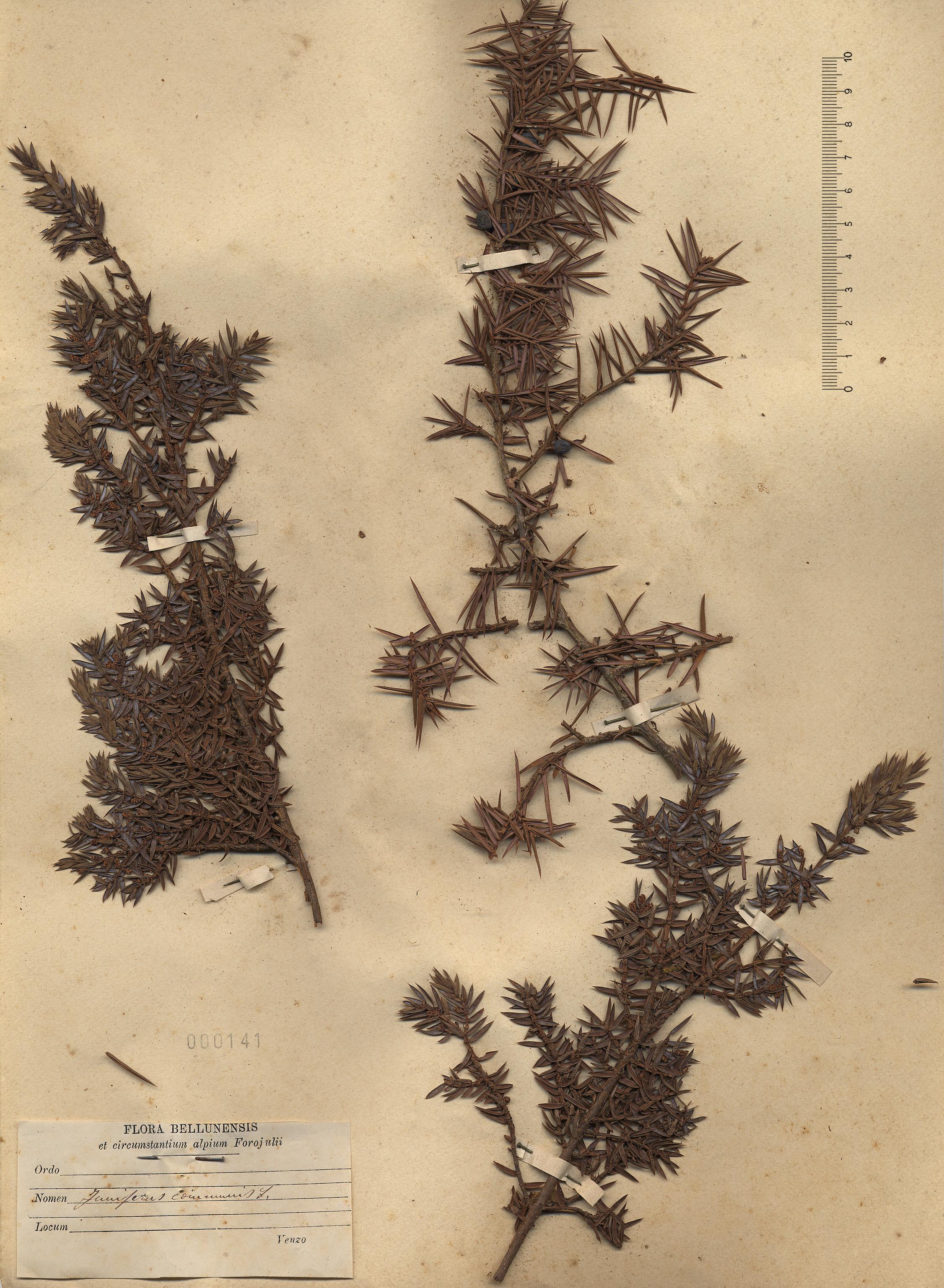 © Hortus Botanicus Catinensis - Herb. sheet 000141<br>