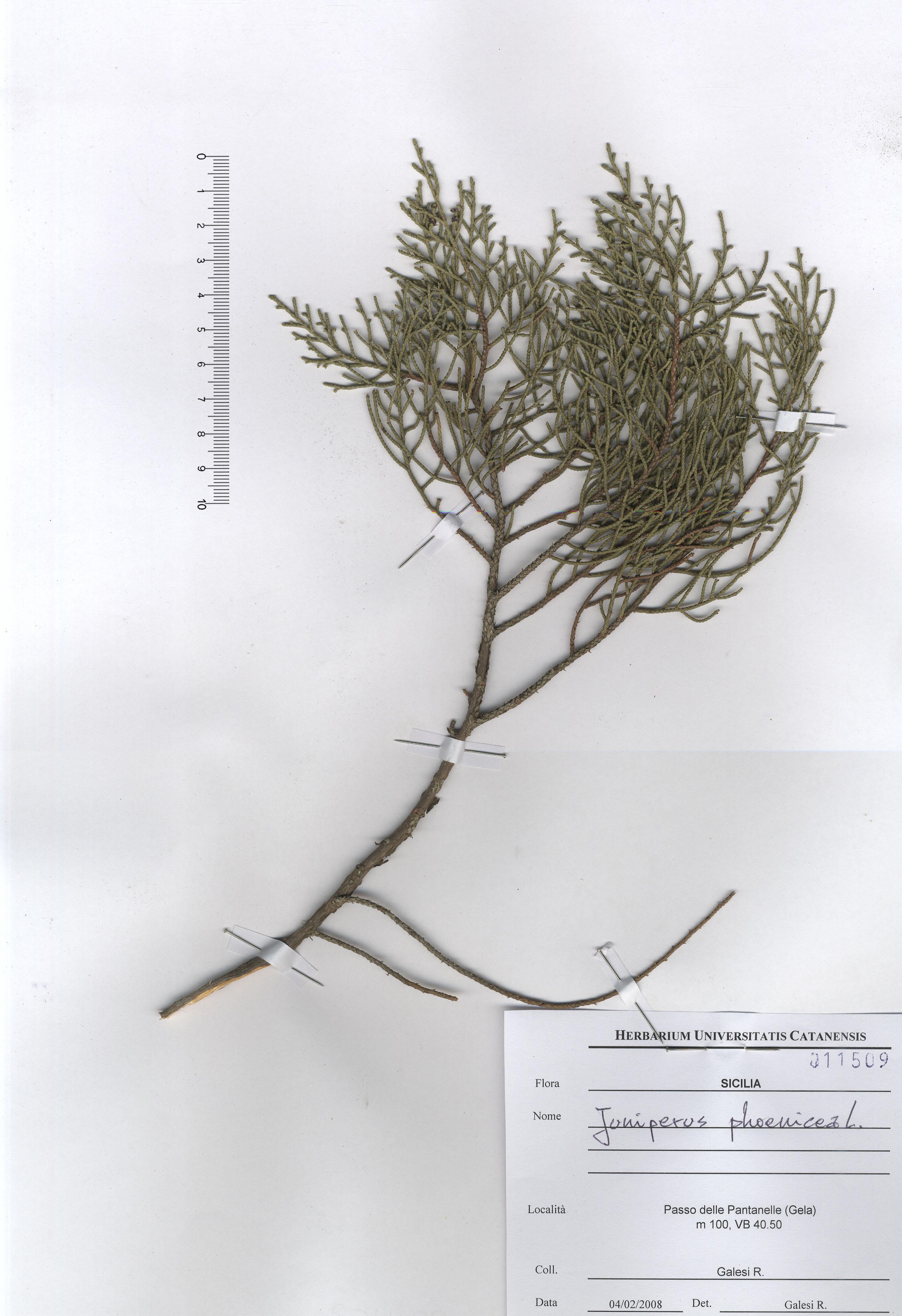 © Hortus Botanicus Catinensis - Herb. sheet 011509<br>