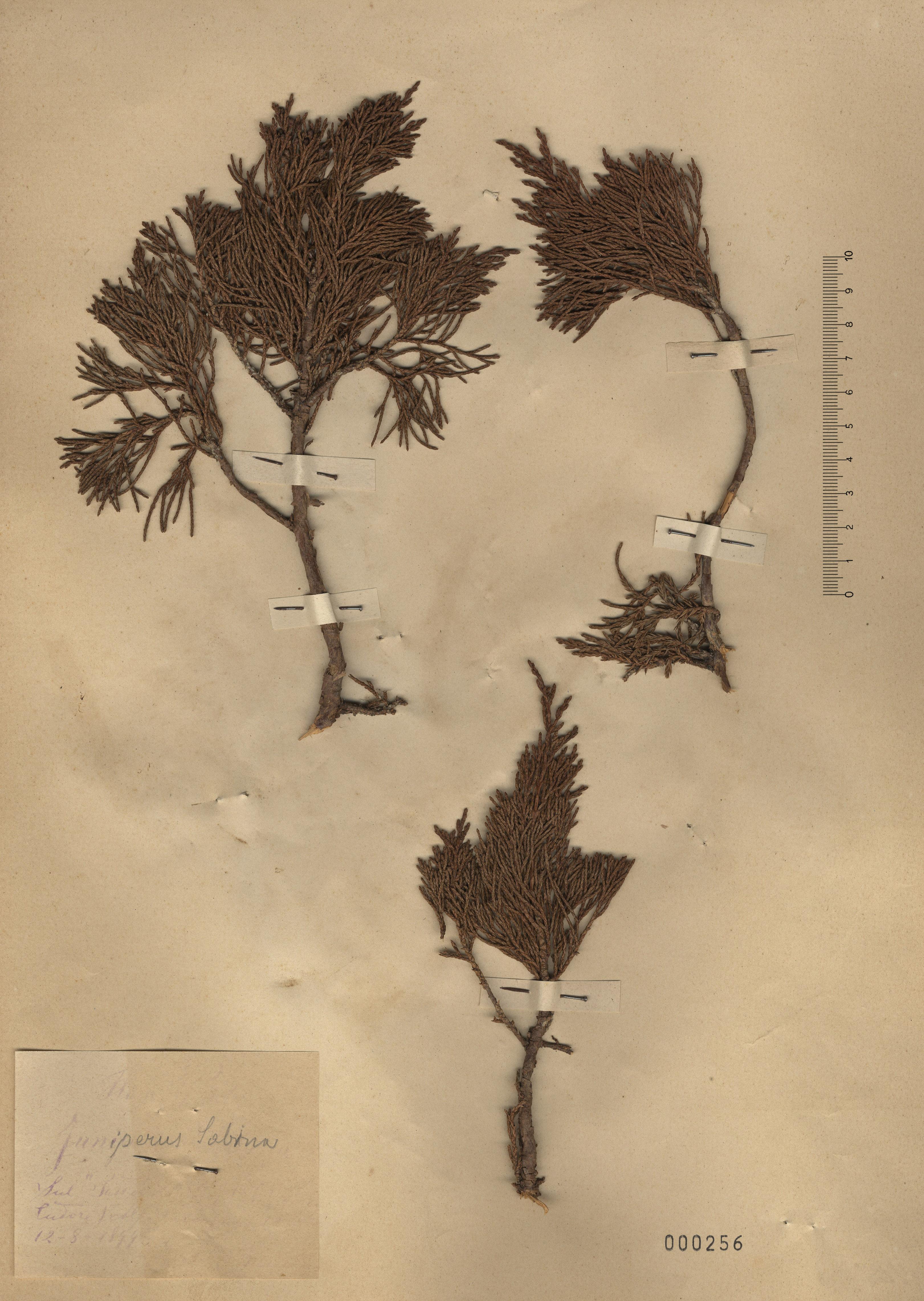 © Hortus Botanicus Catinensis - Herb. sheet 000256<br>