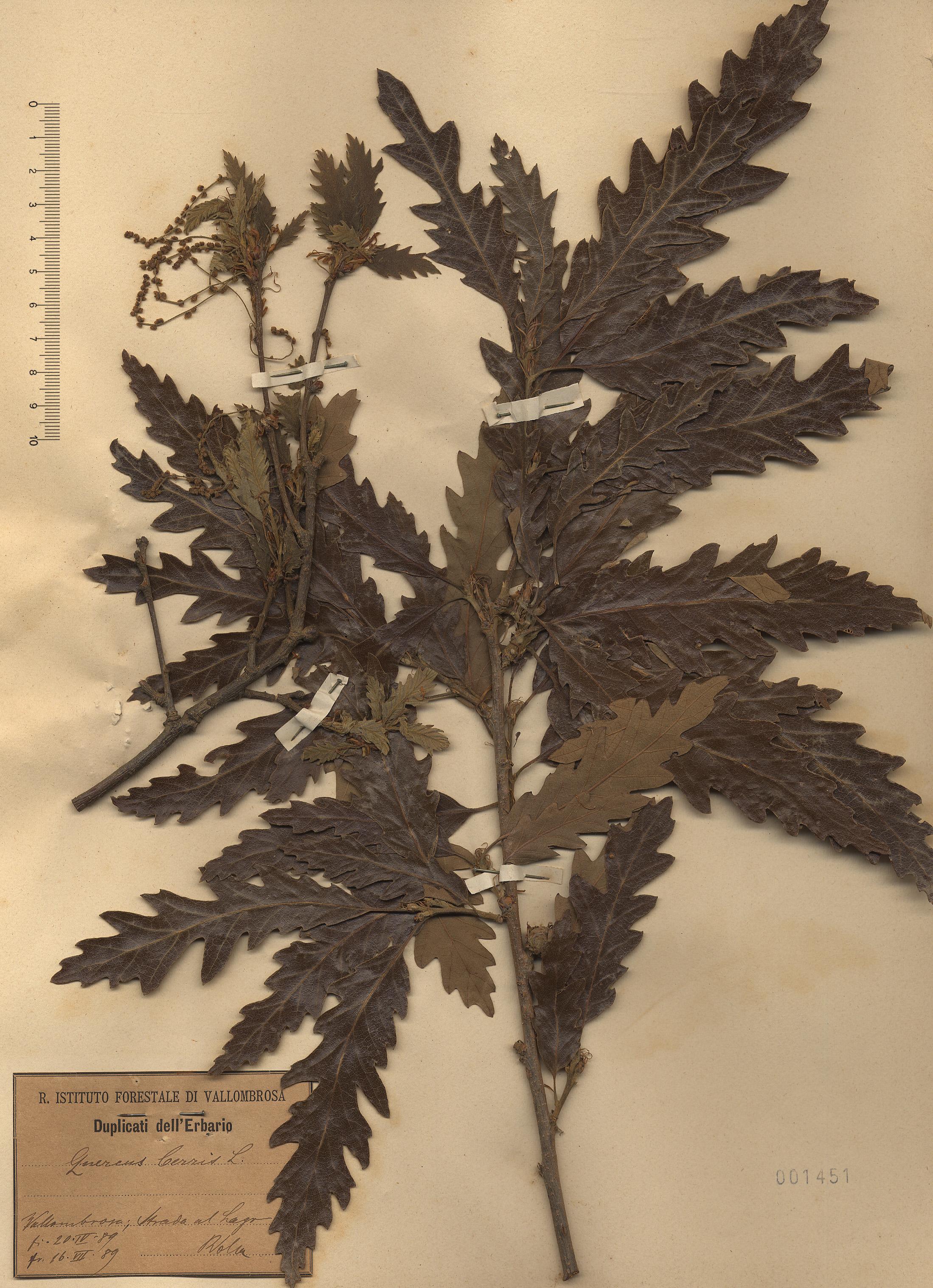 © Hortus Botanicus Catinensis - Herb. sheet 001451<br>