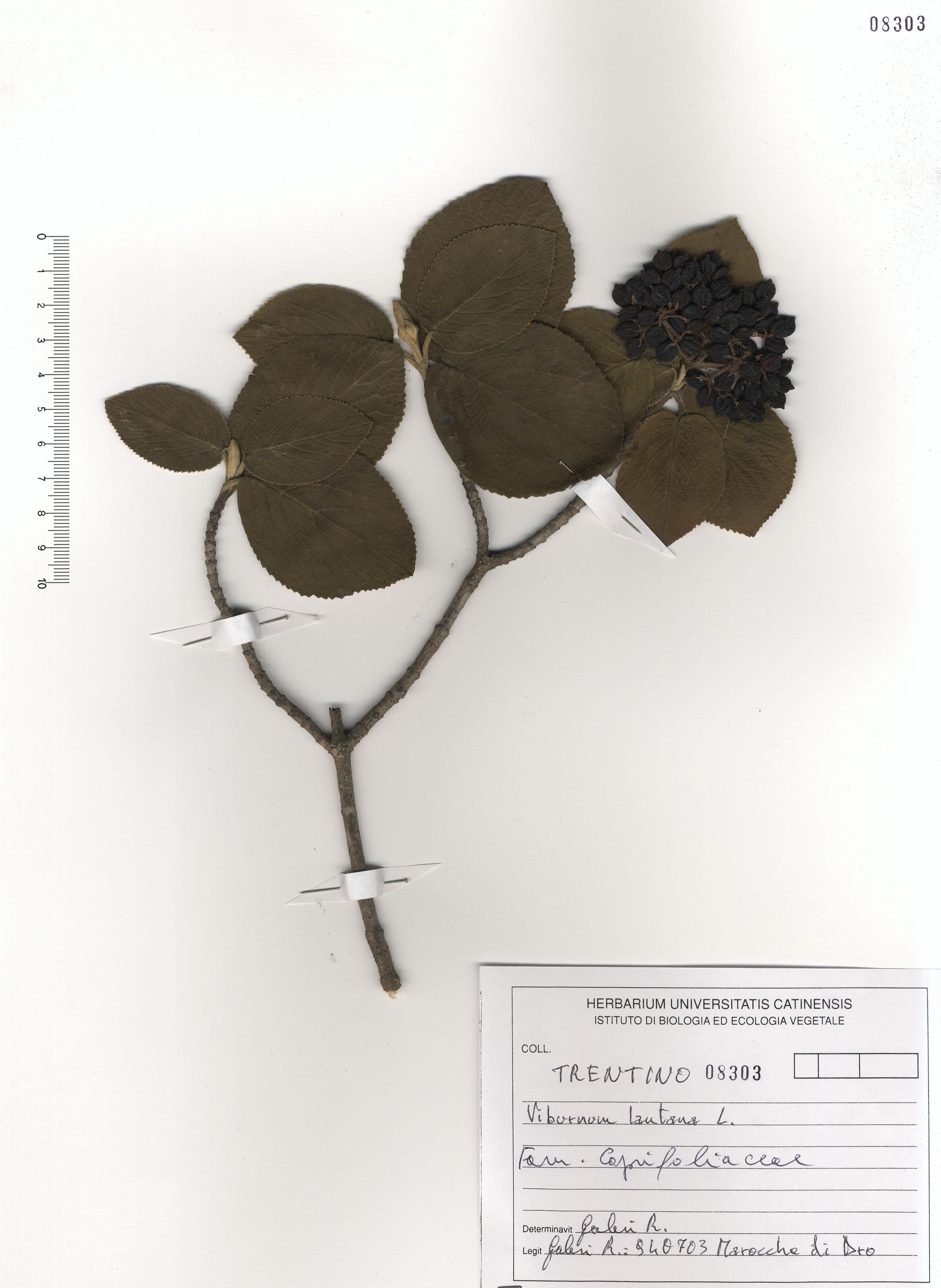 © Hortus Botanicus Catinensis - Herb. sheet 108303<br>