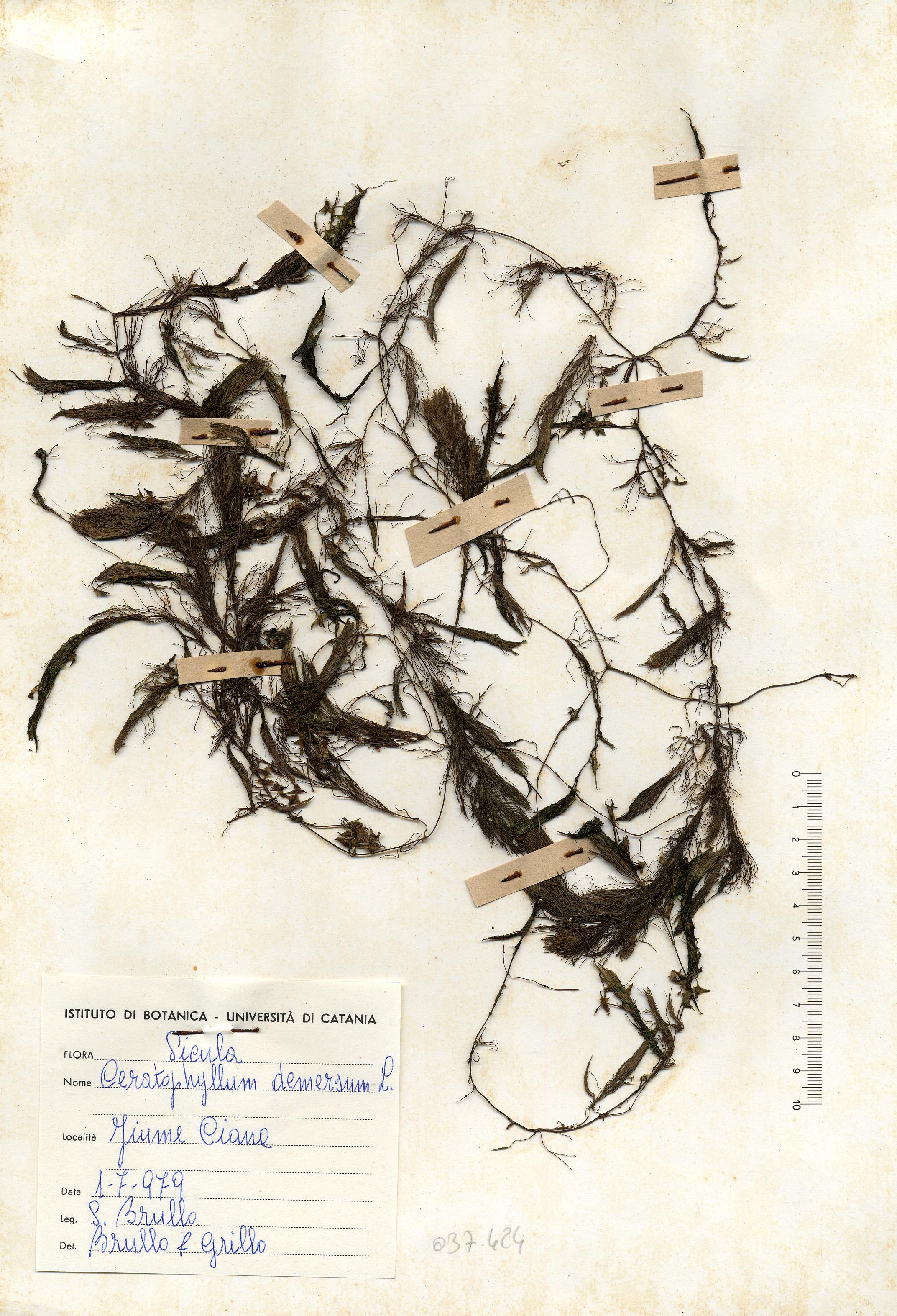 © Hortus Botanicus Catinensis - Herb. sheet 037424<br>