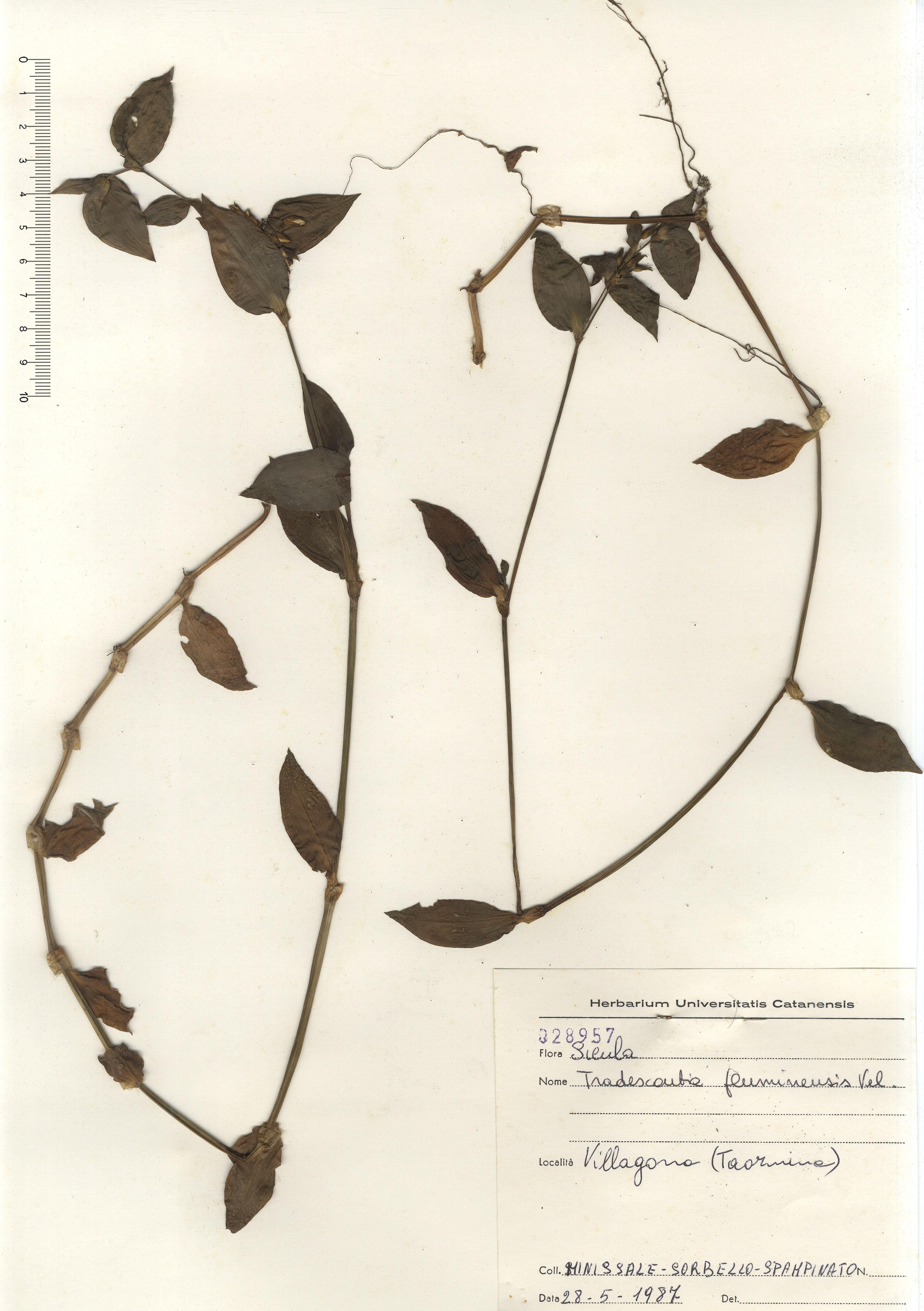 © Hortus Botanicus Catinensis - Herb. sheet 028957<br>