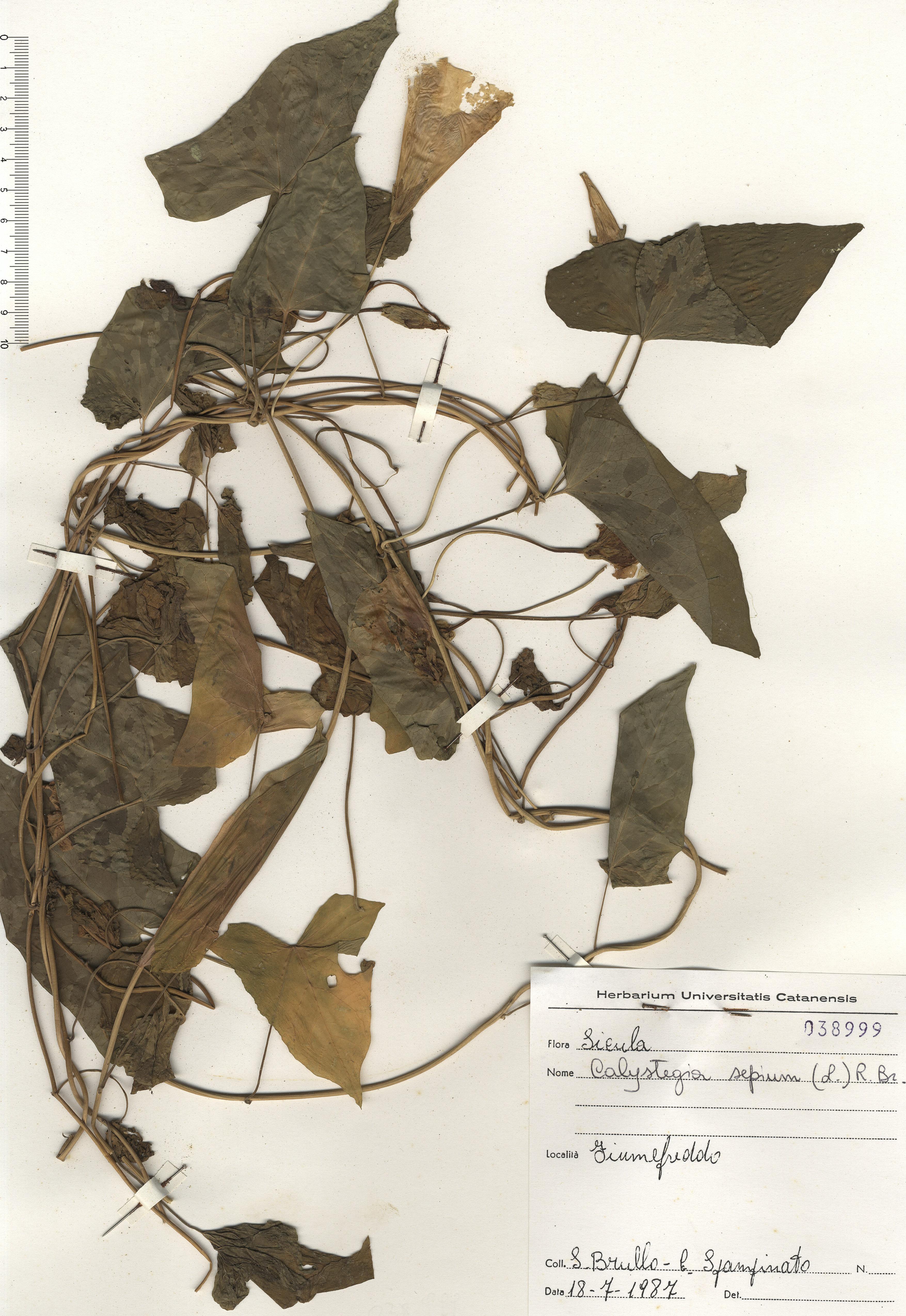 © Hortus Botanicus Catinensis - Herb. sheet 038999<br>