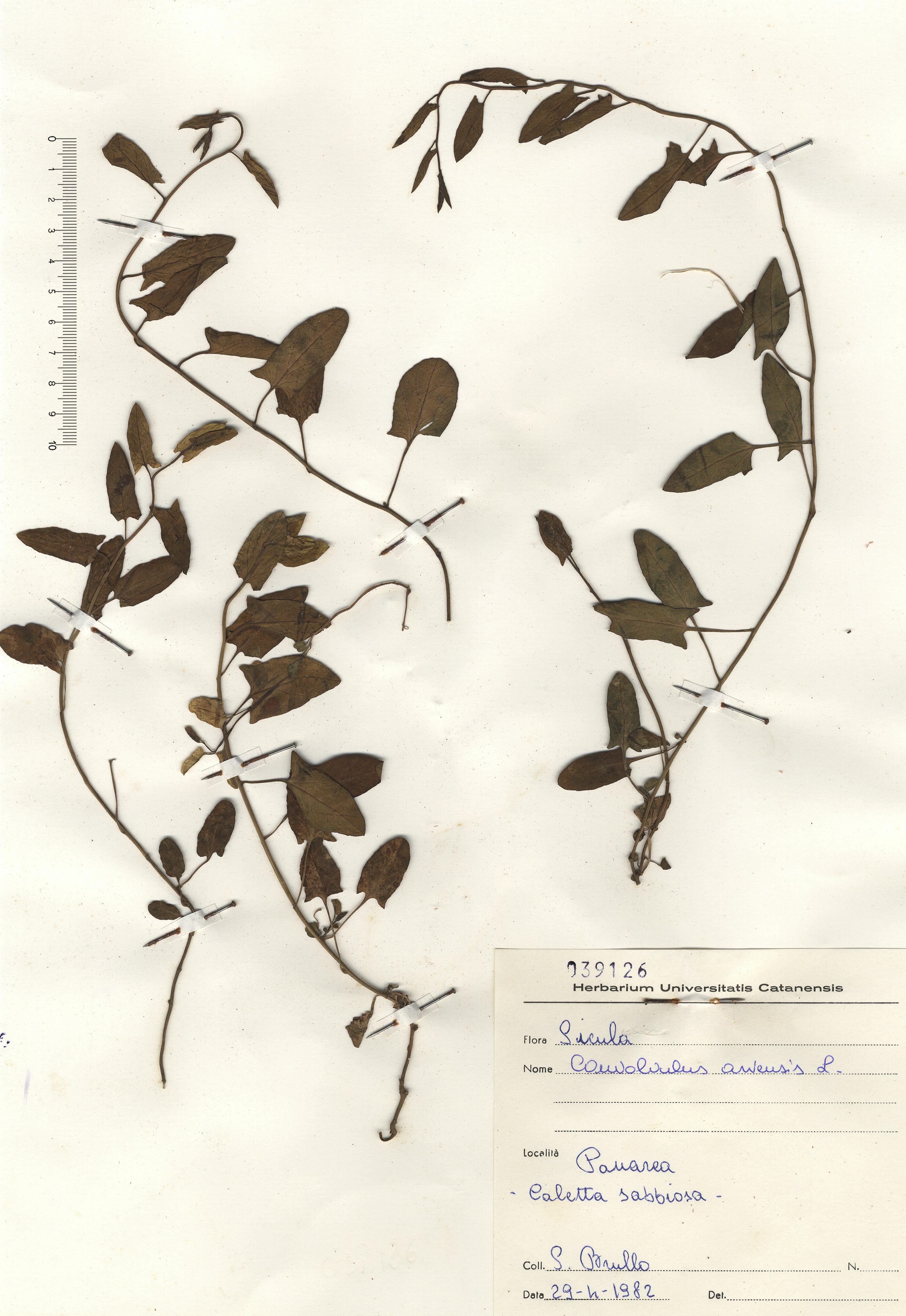 © Hortus Botanicus Catinensis - Herb. sheet 039126<br>