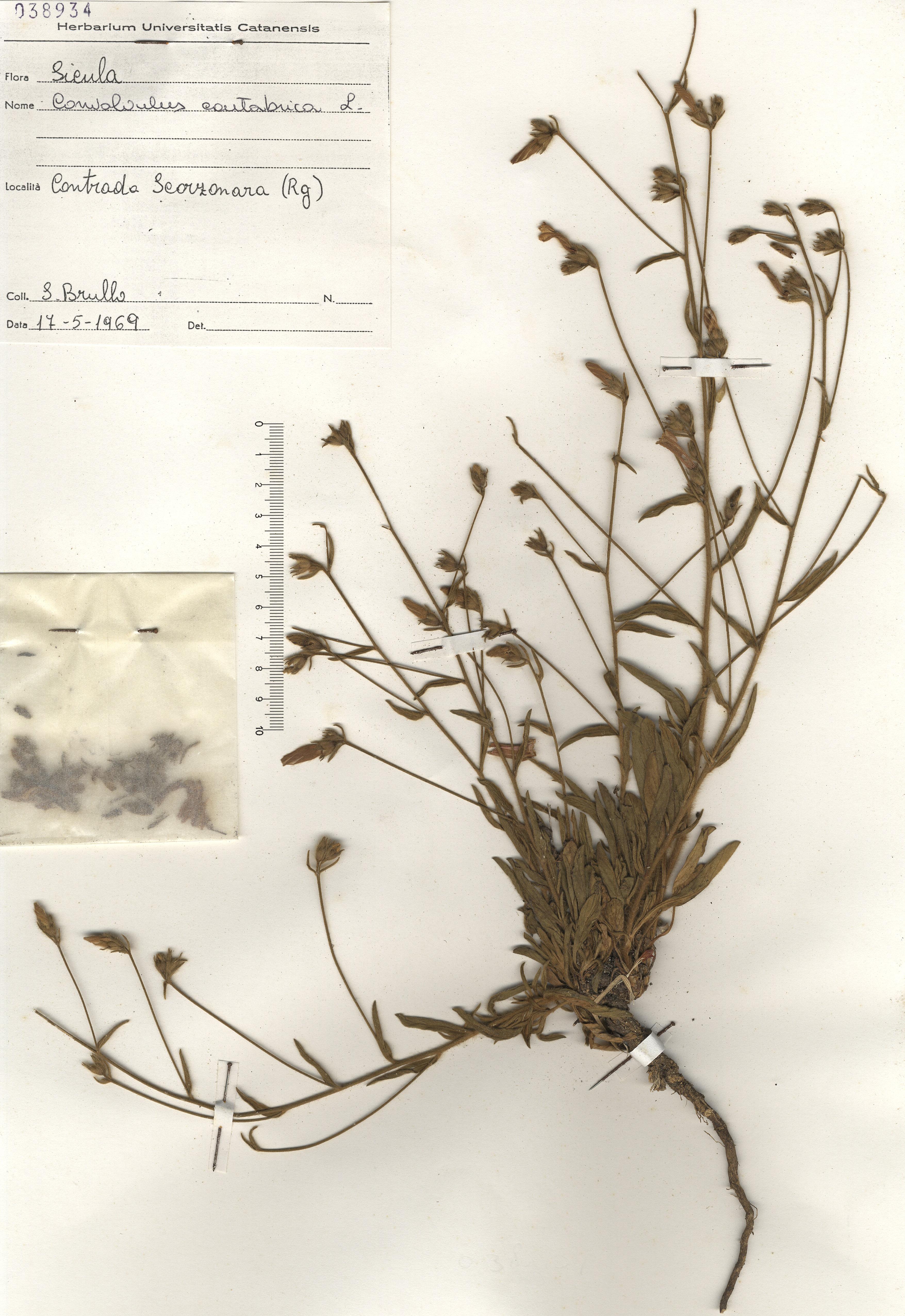 © Hortus Botanicus Catinensis - Herb. sheet 038934<br>