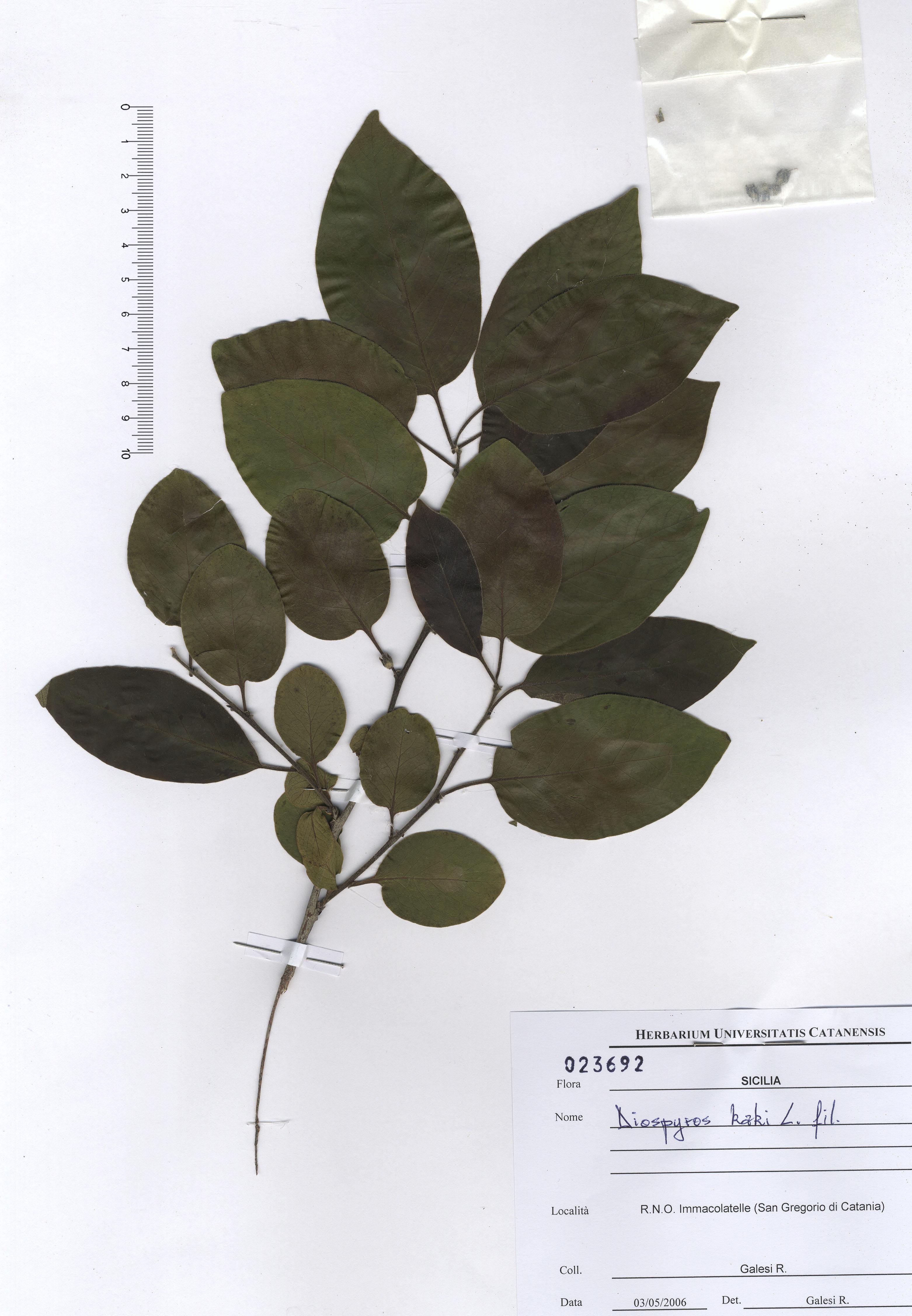 © Hortus Botanicus Catinensis - Herb. sheet 023692<br>