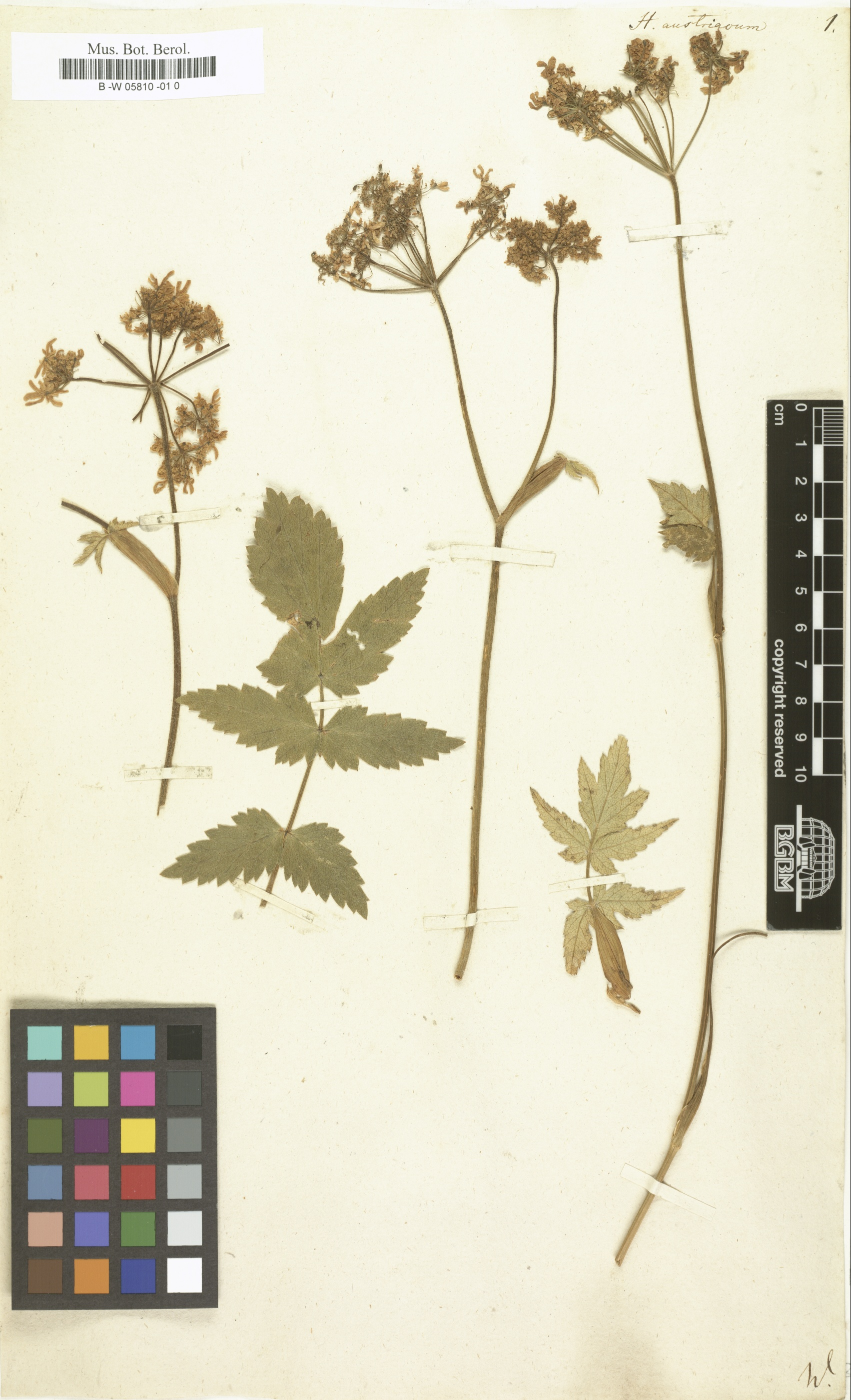 © Röpert, D. (Ed.) 2000- (continuously updated): Digital specimen images at the Herbarium Berolinense. - Published on the Internet http://ww2.bgbm.org/herbarium/ (Barcode: B -W 05810 -01 0 / ImageId: 341660) [accessed 20-Nov-11].<br>
