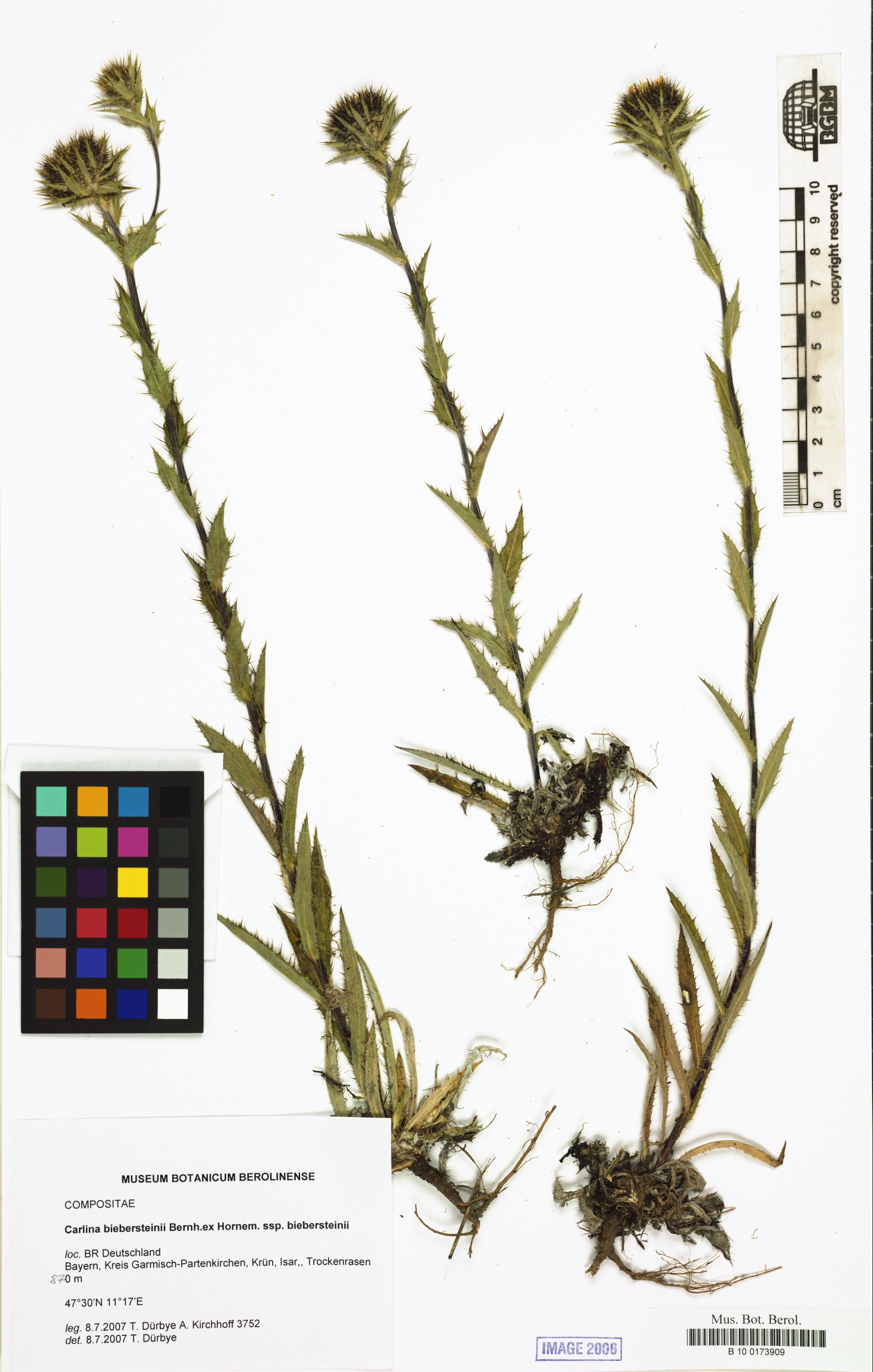 ©   Röpert, D. (Ed.) 2000- (continuously updated): Digital specimen images at the Herbarium Berolinense. - Published on the Internet http://ww2.bgbm.org/herbarium/ (Barcode: B 10 0173909 / ImageId: 291525) [accessed 20-Nov-11].<br>