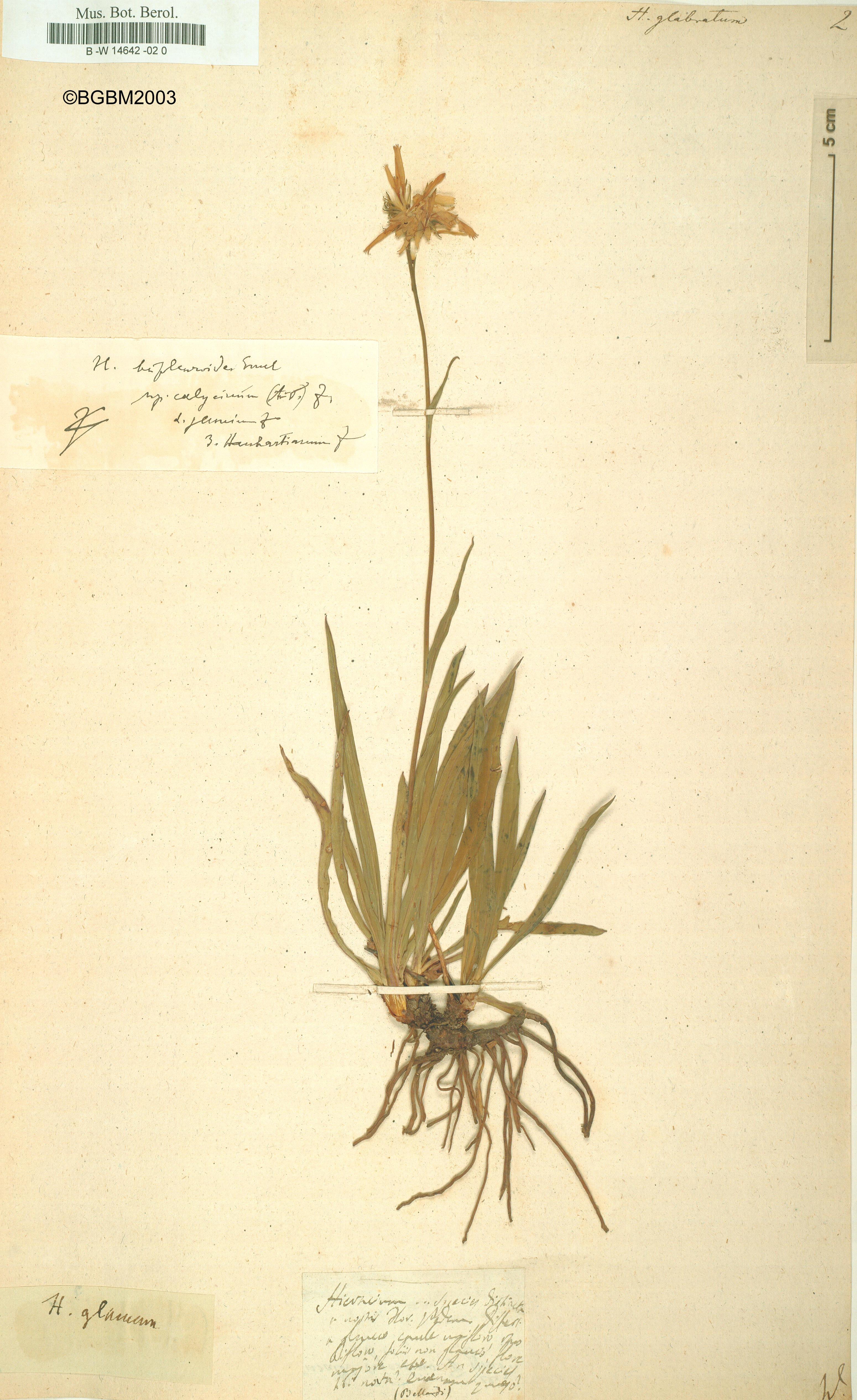Röpert, D. (Ed.) 2000- (continuously updated): Digital specimen images at the Herbarium Berolinense. - Published on the Internet http://ww2.bgbm.org/herbarium/ (Barcode: B -W 14642 -02 0 / ImageId: 174245) [accessed 20-Nov-11].<br>by