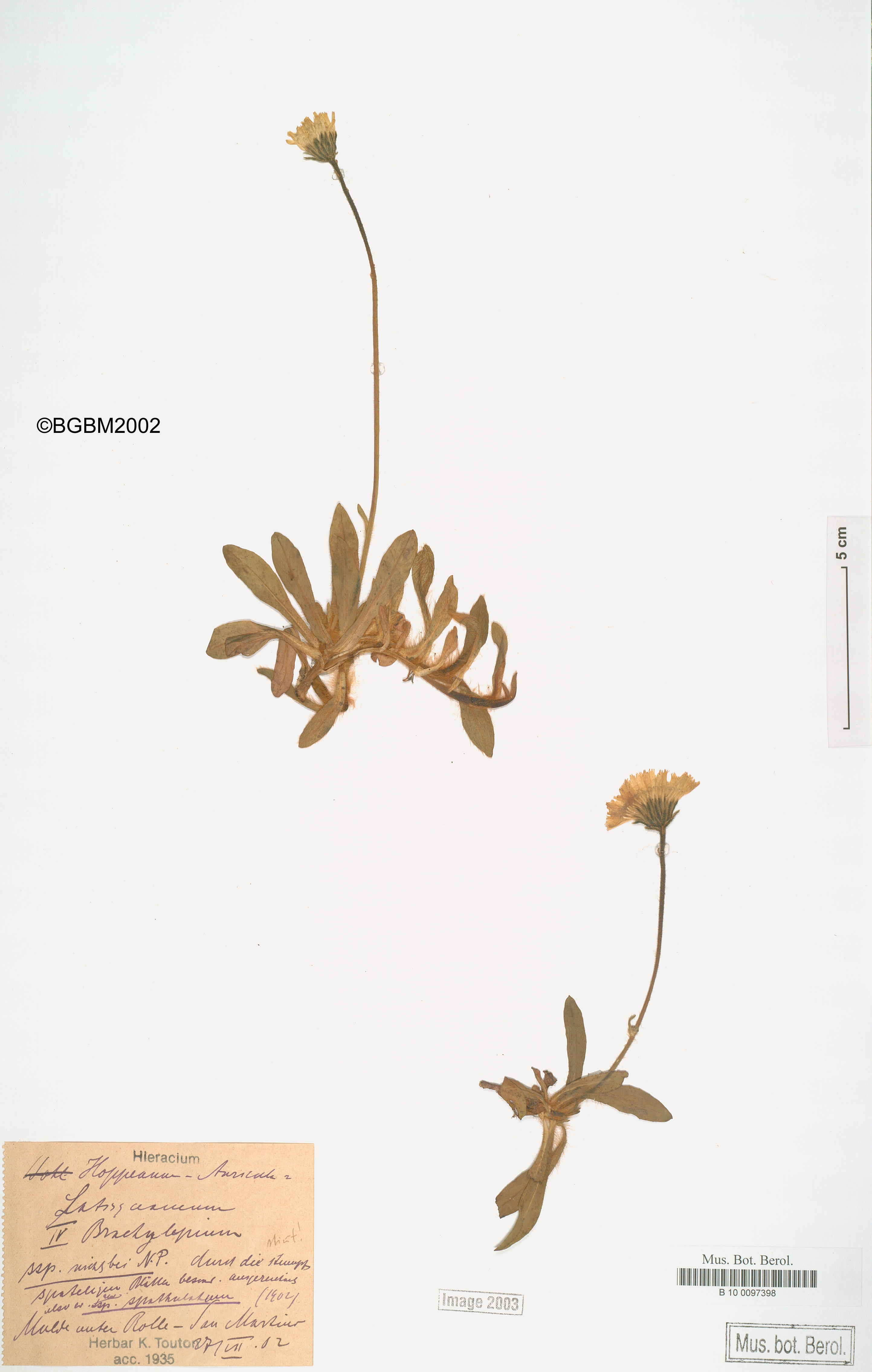 © Botanic Garden and Botanical Museum Berlin-Dahlem, Freie Universität Berlin<br>by  Röpert, D. (Ed.) 2000- (continuously updated): Digital specimen images at the Herbarium Berolinense. - Published on the Internet http://ww2.bgbm.org/herbarium/ (Barcode: B 10 0097398 / ImageId: 215435) [accessed 24-Nov-11].<br>