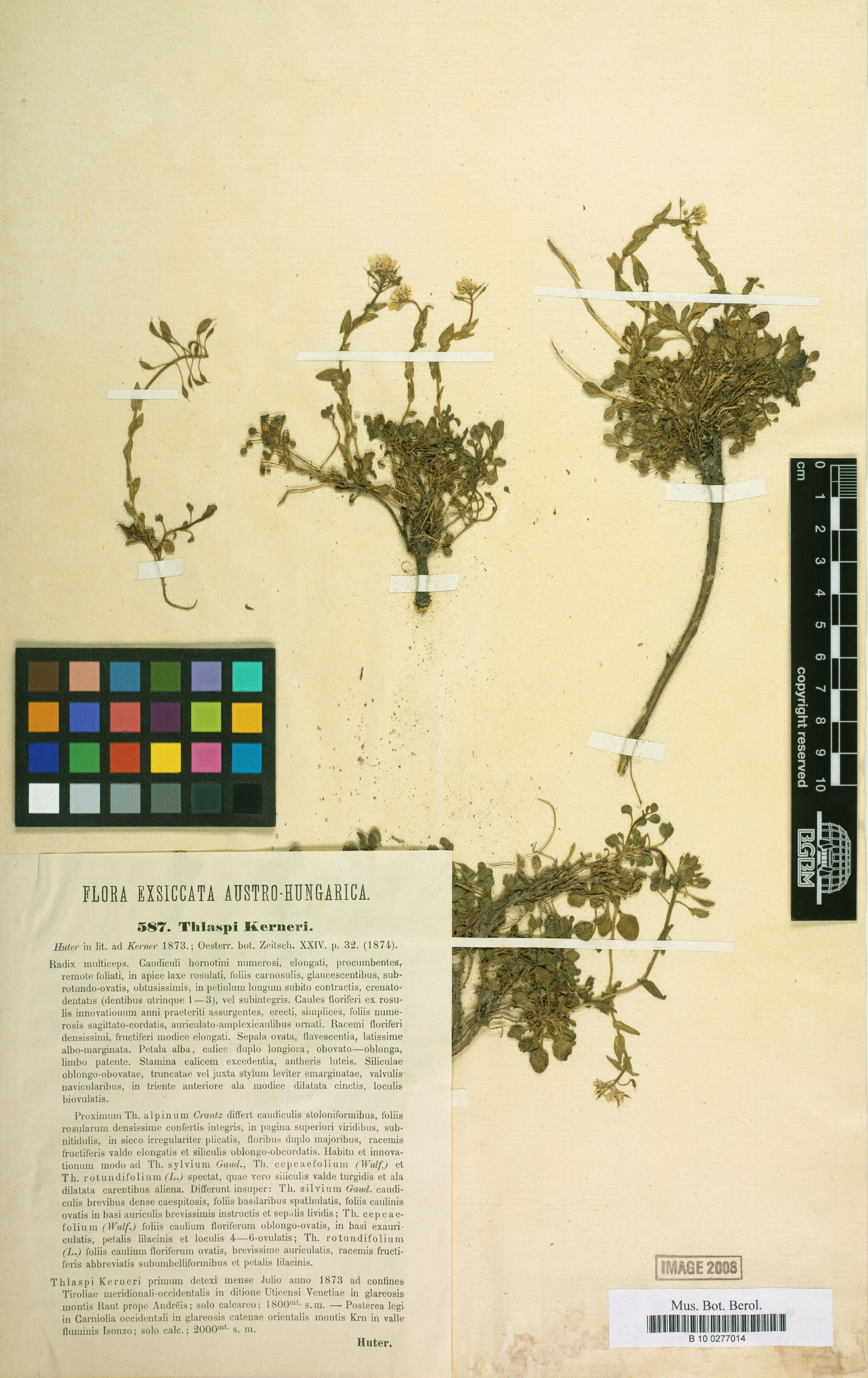 © Botanic Garden and Botanical Museum Berlin-Dahlem, Freie Universität Berlin<br>by Röpert, D. (Ed.) 2000- (continuously updated): Digital specimen images at the Herbarium Berolinense. - Published on the Internet http://ww2.bgbm.org/herbarium/ (Barcode: B 10 0277014 / ImageId: 278018) [accessed 26-Nov-11].<br>