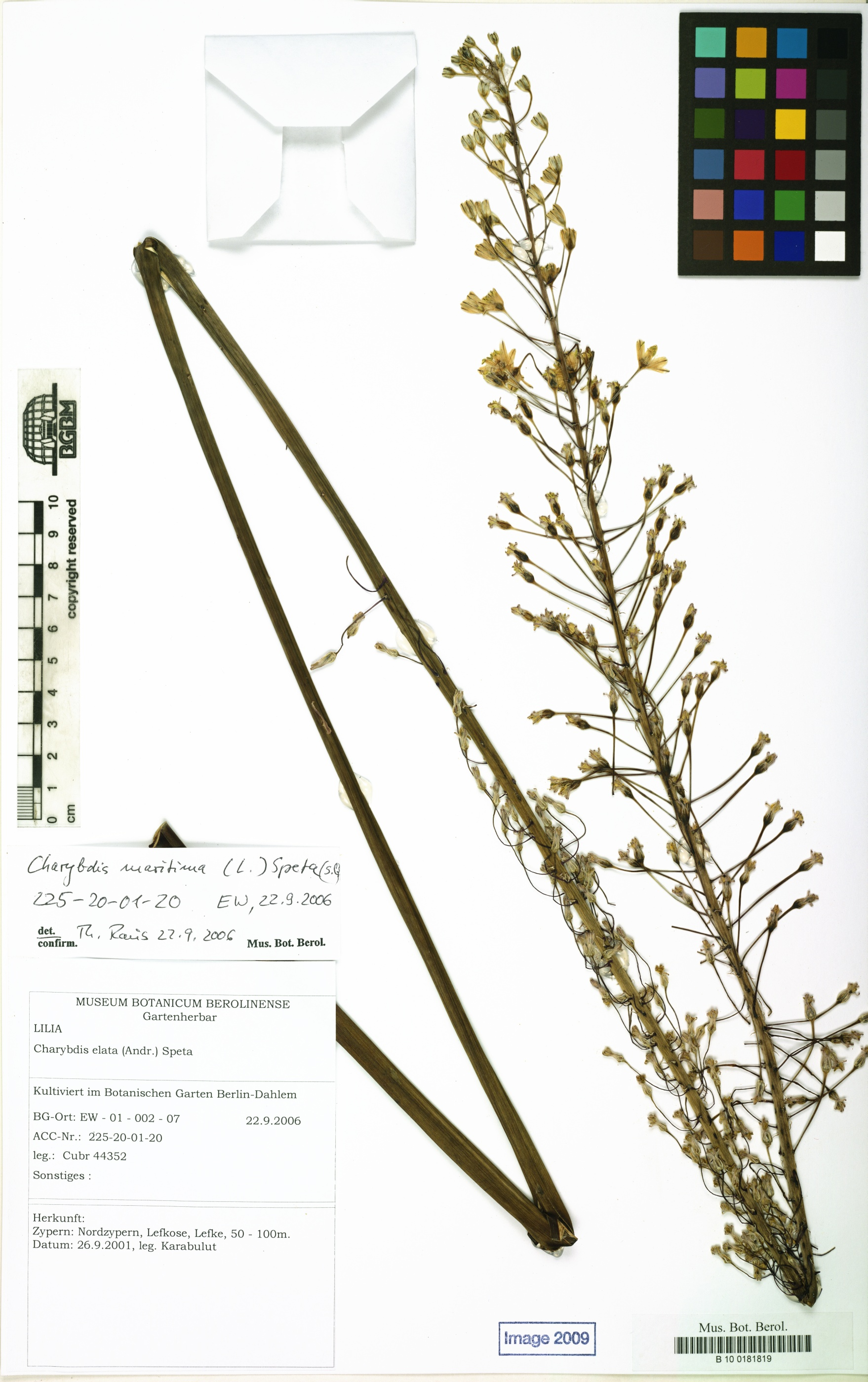 Botanic Garden and Botanical Museum Berlin-Dahlem, Freie Universität Berlin<br>by Röpert, D. (Ed.) 2000- (continuously updated): Digital specimen images at the Herbarium Berolinense. - Published on the Internet http://ww2.bgbm.org/herbarium/ (Barcode: B 10 0181819 / ImageId: 311106) [accessed 26-Nov-11].