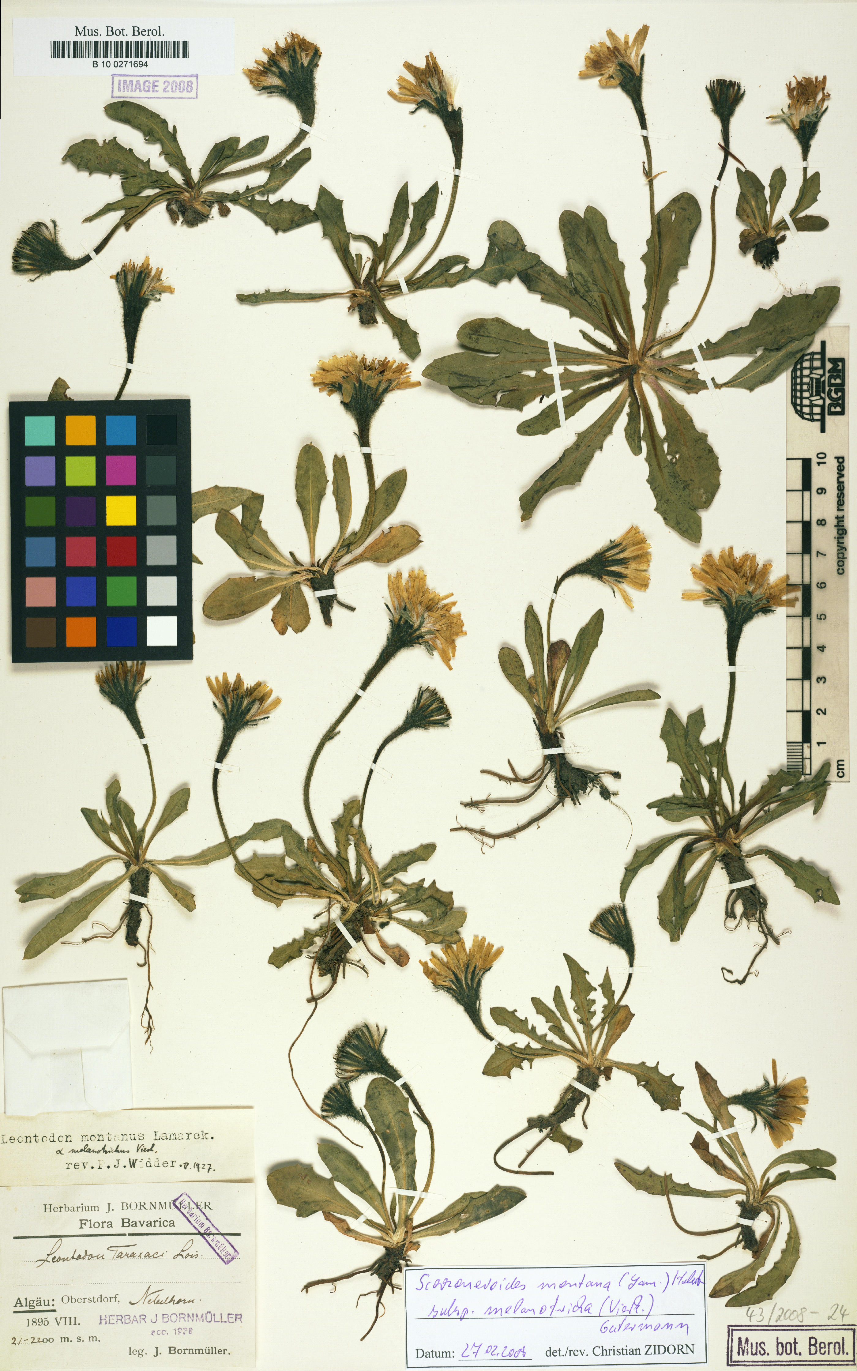 © Botanic Garden and Botanical Museum Berlin-Dahlem, Freie Universität Berlin<br>by Röpert, D. (Ed.) 2000- (continuously updated): Digital specimen images at the Herbarium Berolinense. - Published on the Internet http://ww2.bgbm.org/herbarium/ (Barcode: B 10 0271694 / ImageId: 268462) [accessed 26-Nov-11].<br>