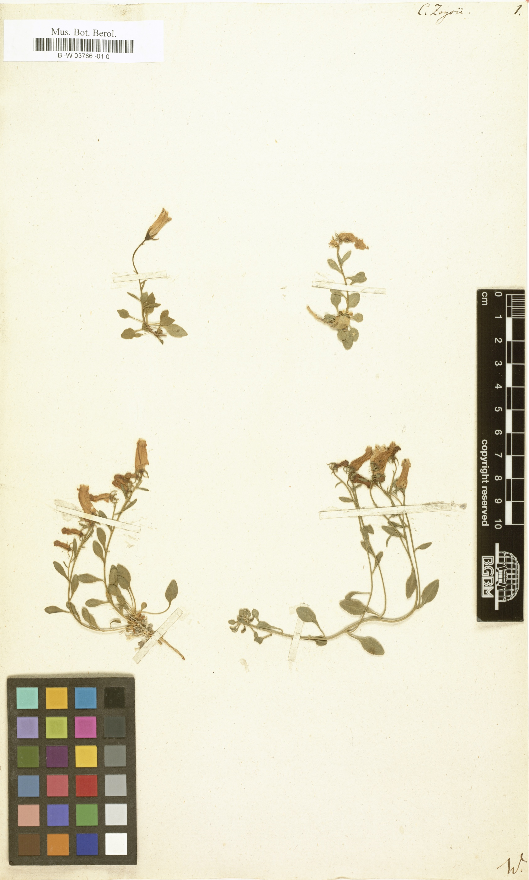 © Botanic Garden and Botanical Museum Berlin-Dahlem, Freie Universität Berlin<br>by  Röpert, D. (Ed.) 2000- (continuously updated): Digital specimen images at the Herbarium Berolinense. - Published on the Internet http://ww2.bgbm.org/herbarium/ (Barcode: B -W 03786 -01 0 / ImageId: 320469) [accessed 26-Nov-11].<br>