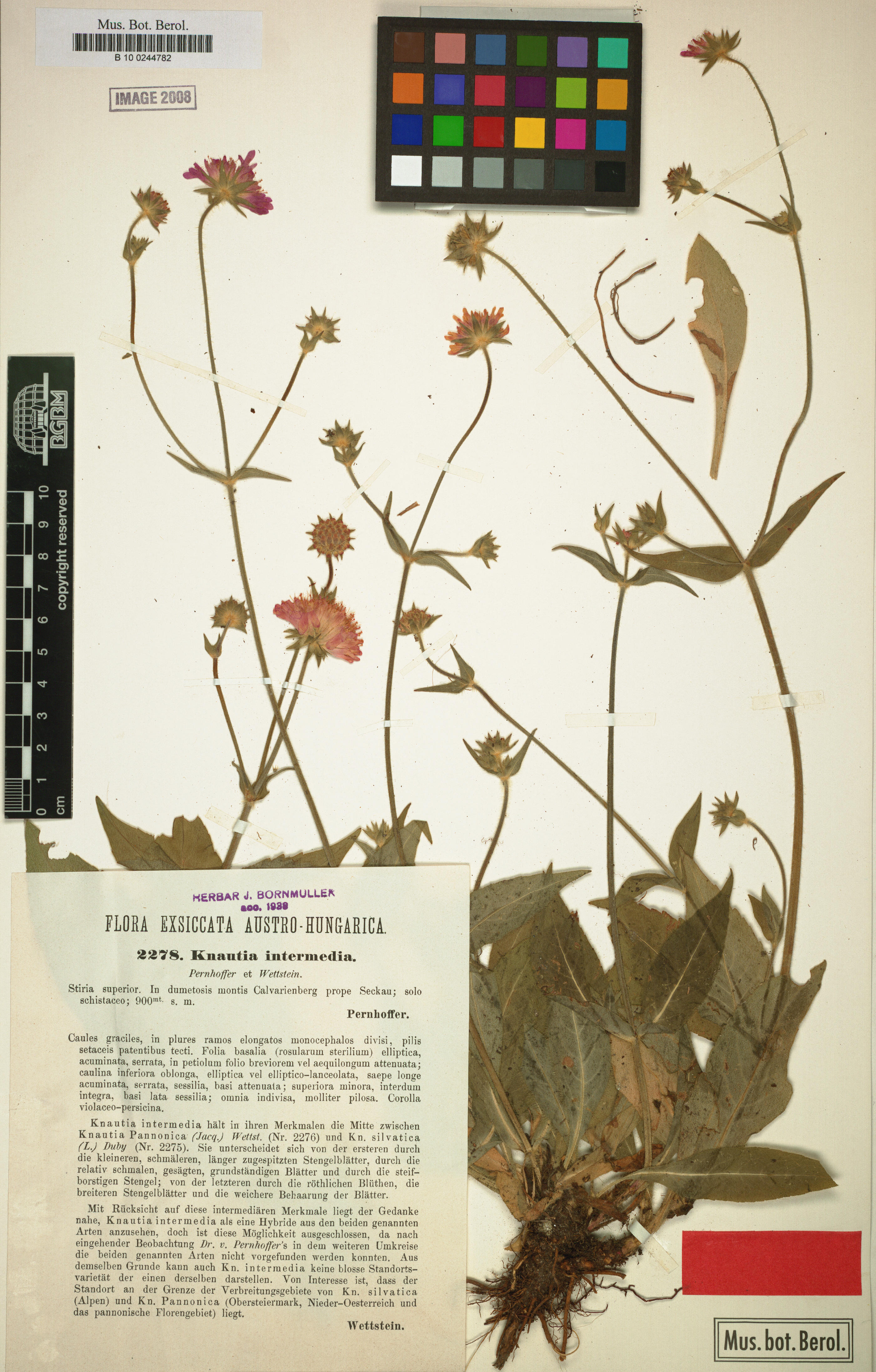 © Botanic Garden and Botanical Museum Berlin-Dahlem, Freie Universität Berlin<br>by Röpert, D. (Ed.) 2000- (continuously updated): Digital specimen images at the Herbarium Berolinense. - Published on the Internet http://ww2.bgbm.org/herbarium/ (Barcode: B 10 0244782 / ImageId: 276360) [accessed 26-Nov-11].<br>