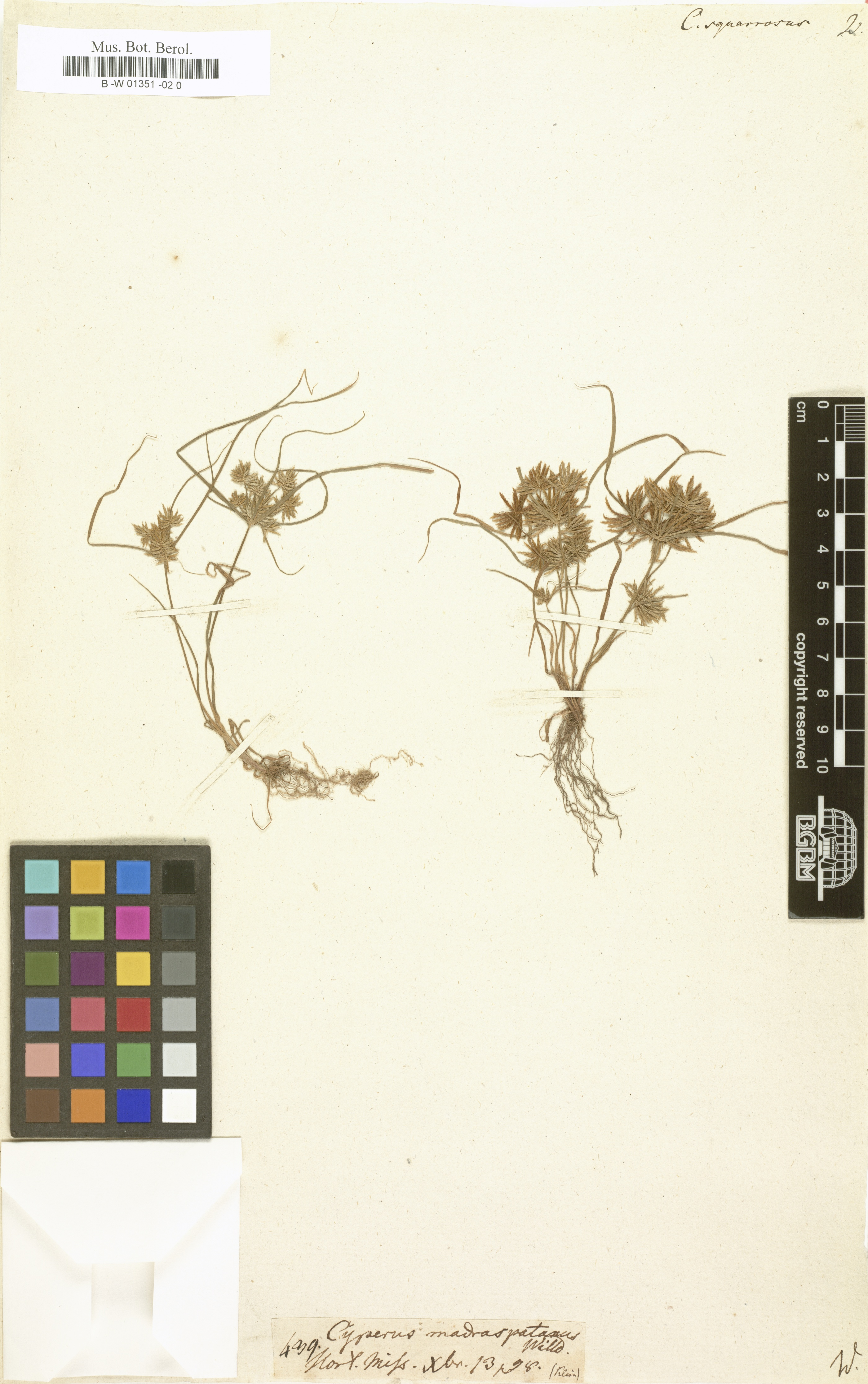 © Botanic Garden and Botanical Museum Berlin-Dahlem, Freie Universität Berlin<br>by Röpert, D. (Ed.) 2000- (continuously updated): Digital specimen images at the Herbarium Berolinense. - Published on the Internet http://ww2.bgbm.org/herbarium/ (Barcode: B -W 01351 -02 0 / ImageId: 321594) [accessed 27-Nov-11].<br>