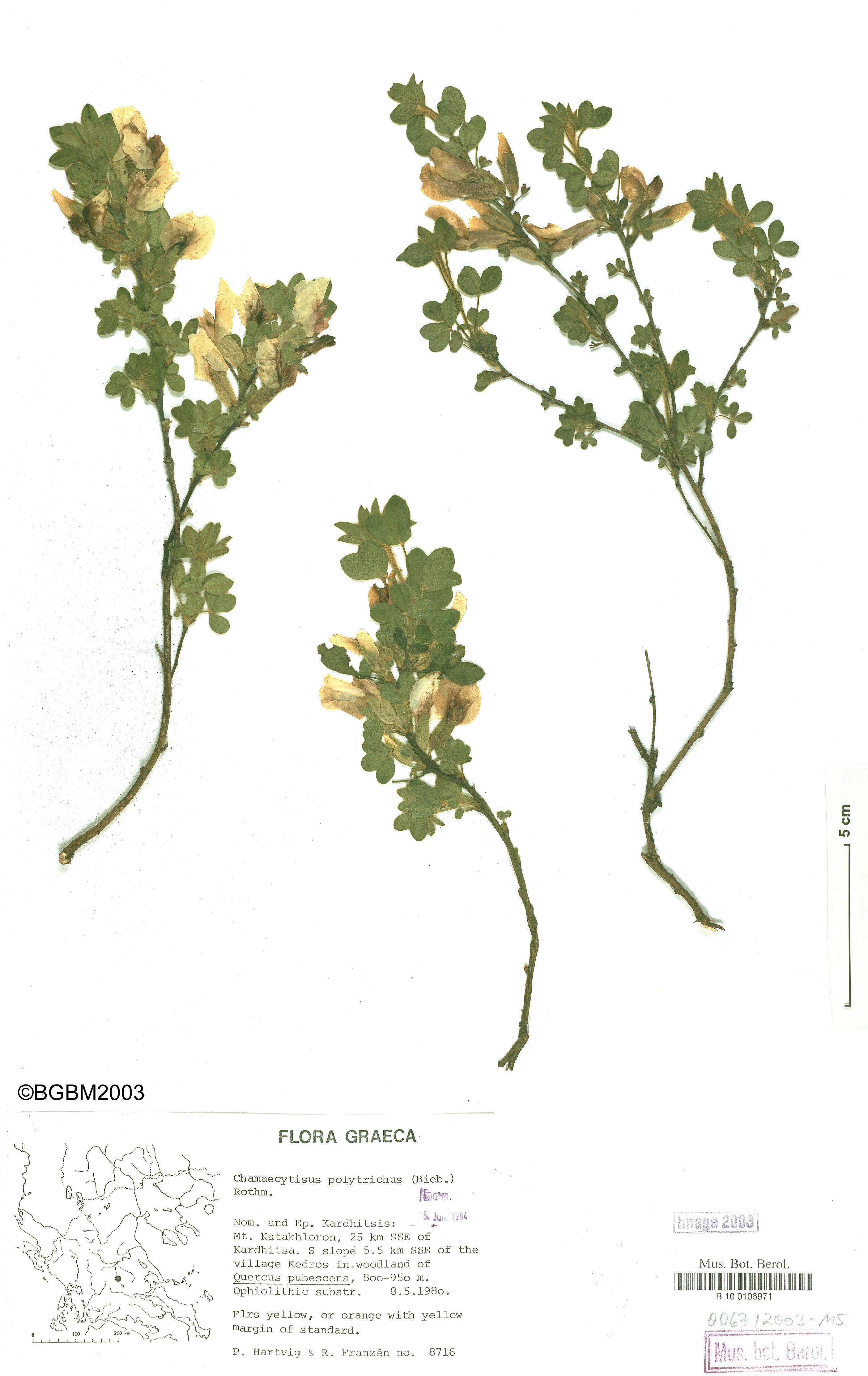 © Botanic Garden and Botanical Museum Berlin-Dahlem, Freie Universität Berlin<br>by Röpert, D. (Ed.) 2000- (continuously updated): Digital specimen images at the Herbarium Berolinense. - Published on the Internet http://ww2.bgbm.org/herbarium/ (Barcode: B 10 0106971 / ImageId: 215732) [accessed 27-Nov-11].<br>