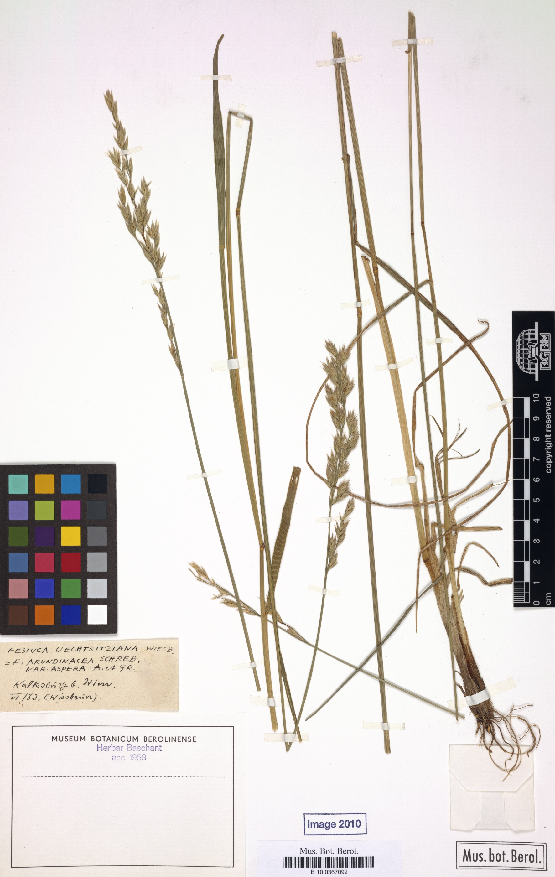 © Botanic Garden and Botanical Museum Berlin-Dahlem, Freie Universität Berlin<br>by  Röpert, D. (Ed.) 2000- (continuously updated): Digital specimen images at the Herbarium Berolinense. - Published on the Internet http://ww2.bgbm.org/herbarium/ (Barcode: B 10 0367092 / ImageId: 308766) [accessed 28-Nov-11].<br>