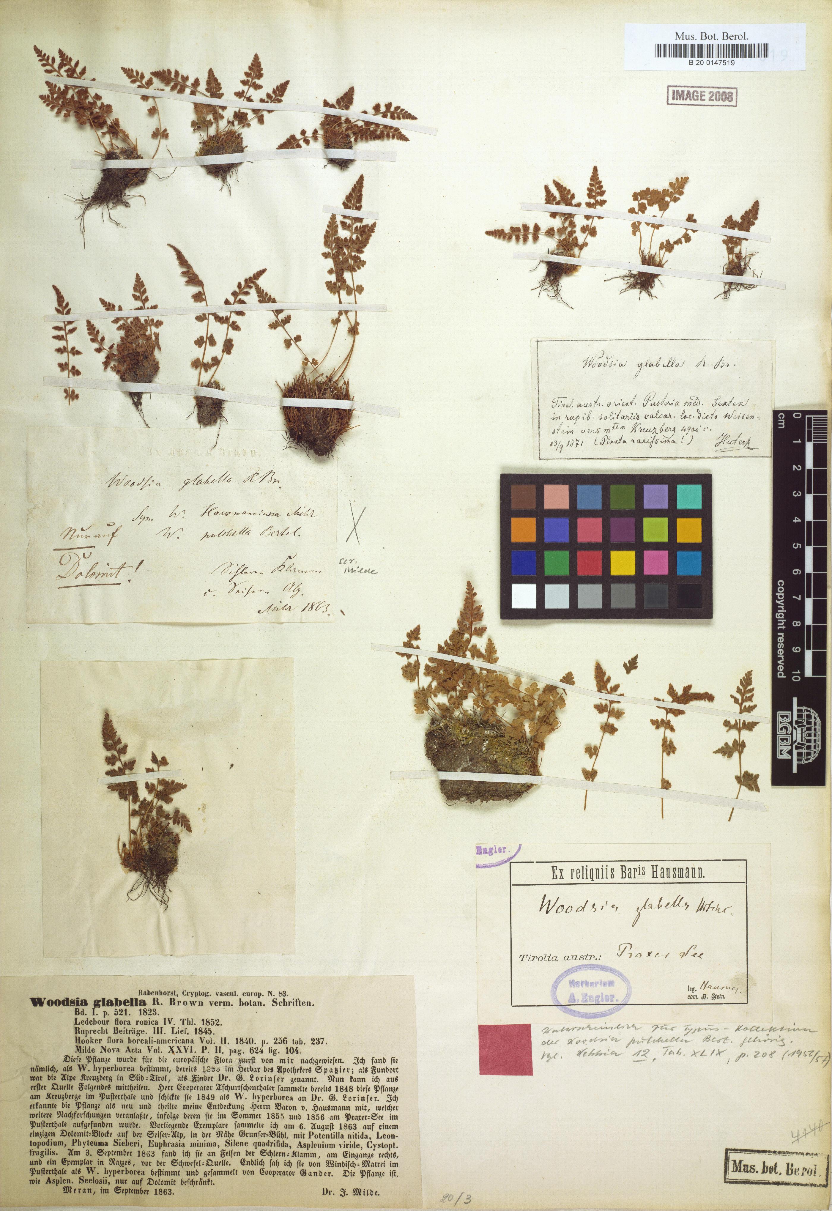 © Botanic Garden and Botanical Museum Berlin-Dahlem, Freie Universität Berlin - image of Androsace elongata s.l.<br>by  Röpert, D. (Ed.) 2000- (continuously updated): Digital specimen images at the Herbarium Berolinense. - Published on the Internet http://ww2.bgbm.org/herbarium/ (Barcode: B 20 0147519 a / ImageId: 275944) [accessed 29-Nov-11].<br>