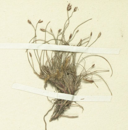 © Röpert, D. (Ed.) 2000- (continuously updated): Digital specimen images at the Herbarium Berolinense. - Published on the Internet http://ww2.bgbm.org/herbarium/ (Barcode: B 10 0296569 / ImageId: 303287) [accessed 07-Dec-11].<br>