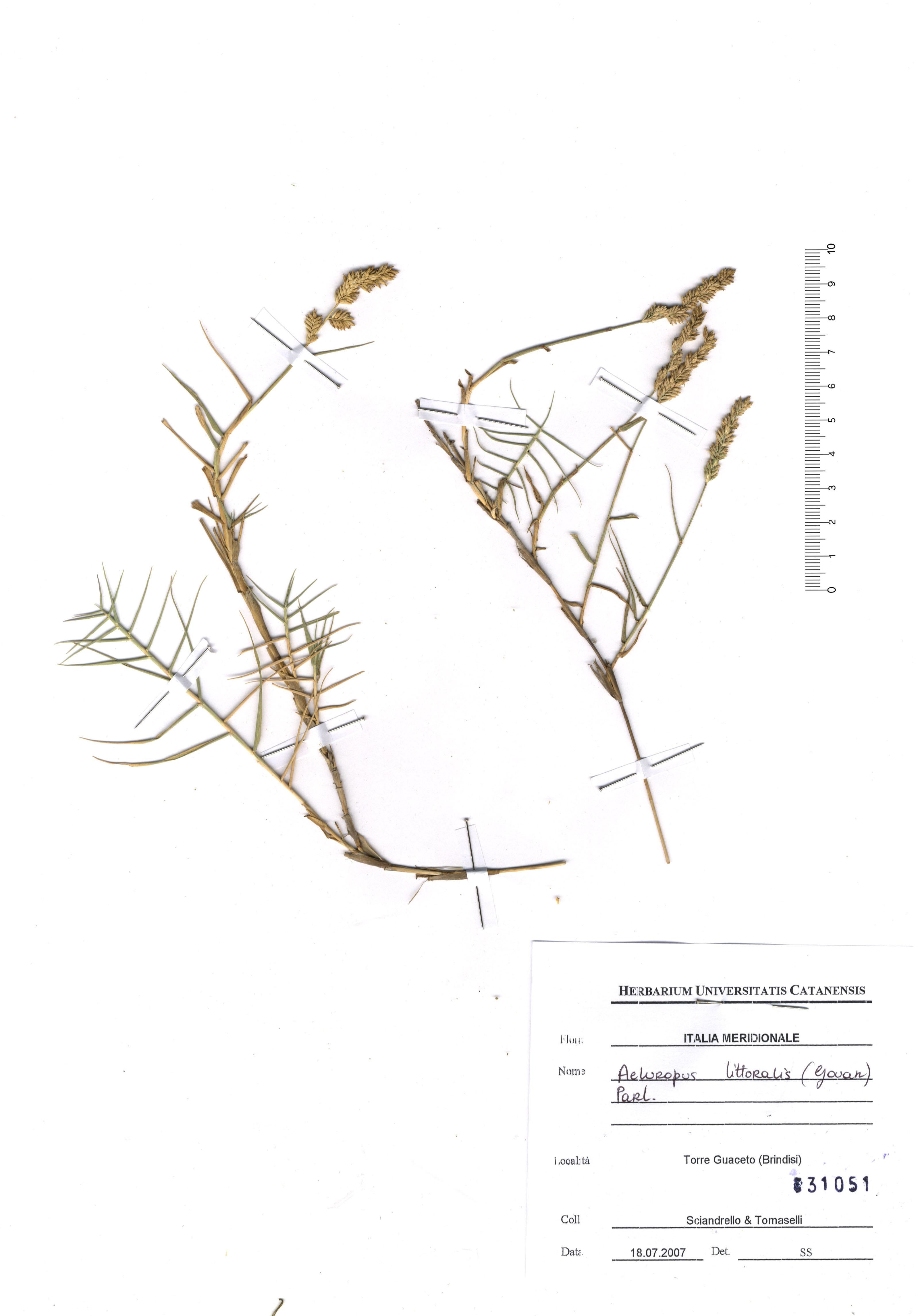 © Hortus Botanicus Catinensis - Herb. sheet 31051<br>