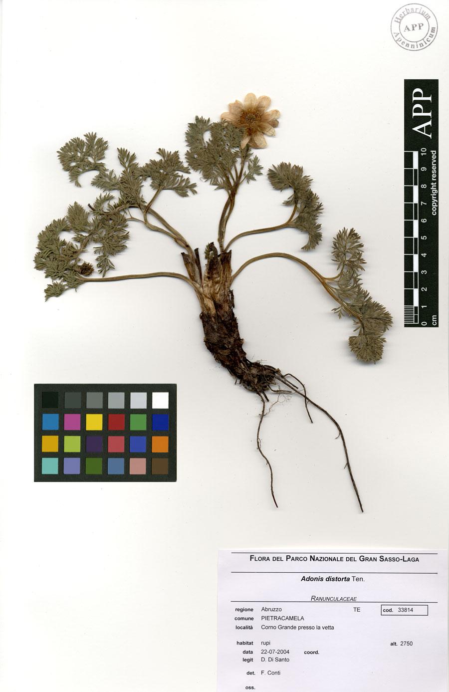 © Herbarium Apenninicum - Centro Ricerche Floristiche dell'Appennino - S. Colombo, Barisciano (AQ) - Università di Camerino / Parco Nazionale del Gran Sasso e Monti della Laga<br>