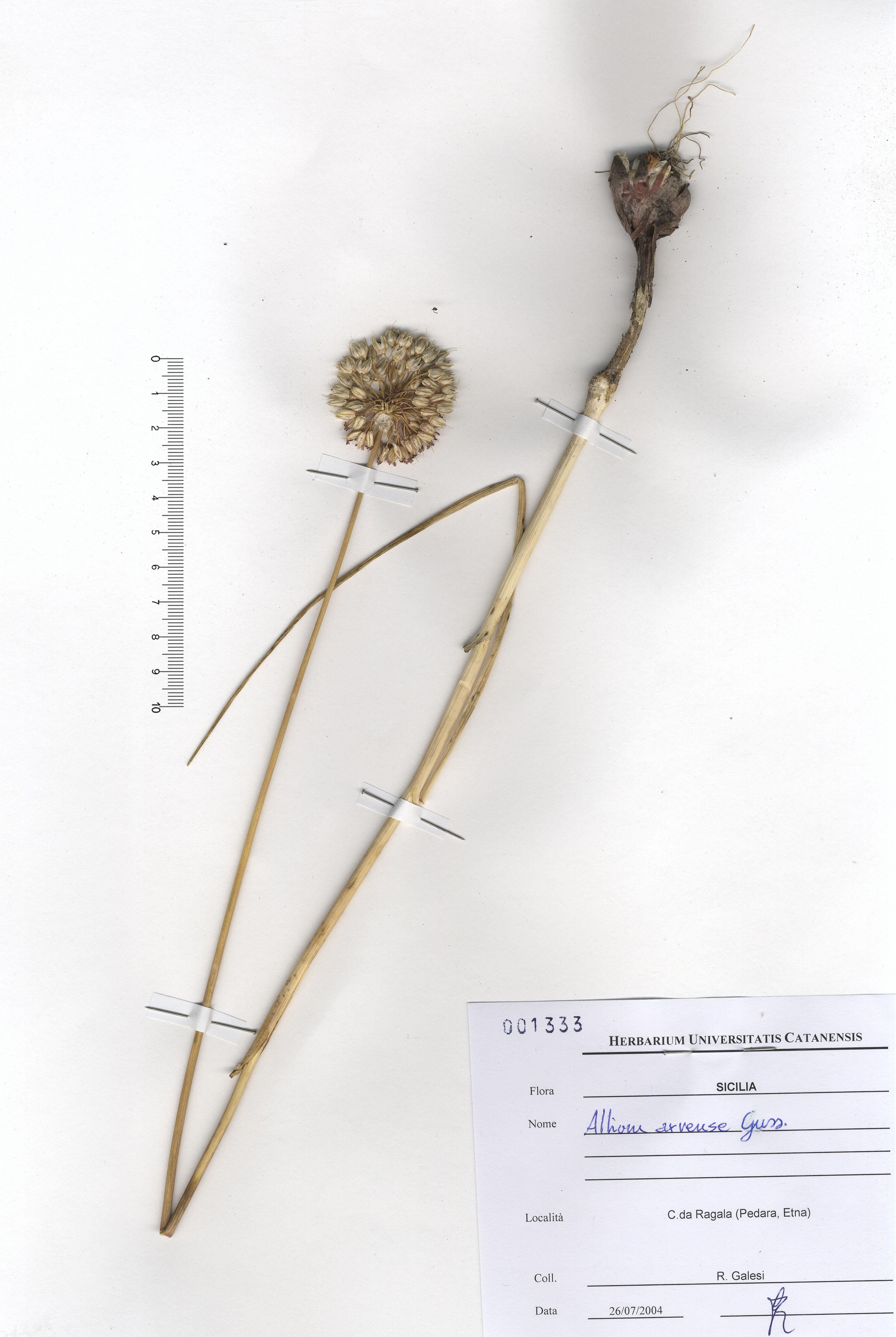© Hortus Botanicus Catinensis - Herb. sheet 001333<br>