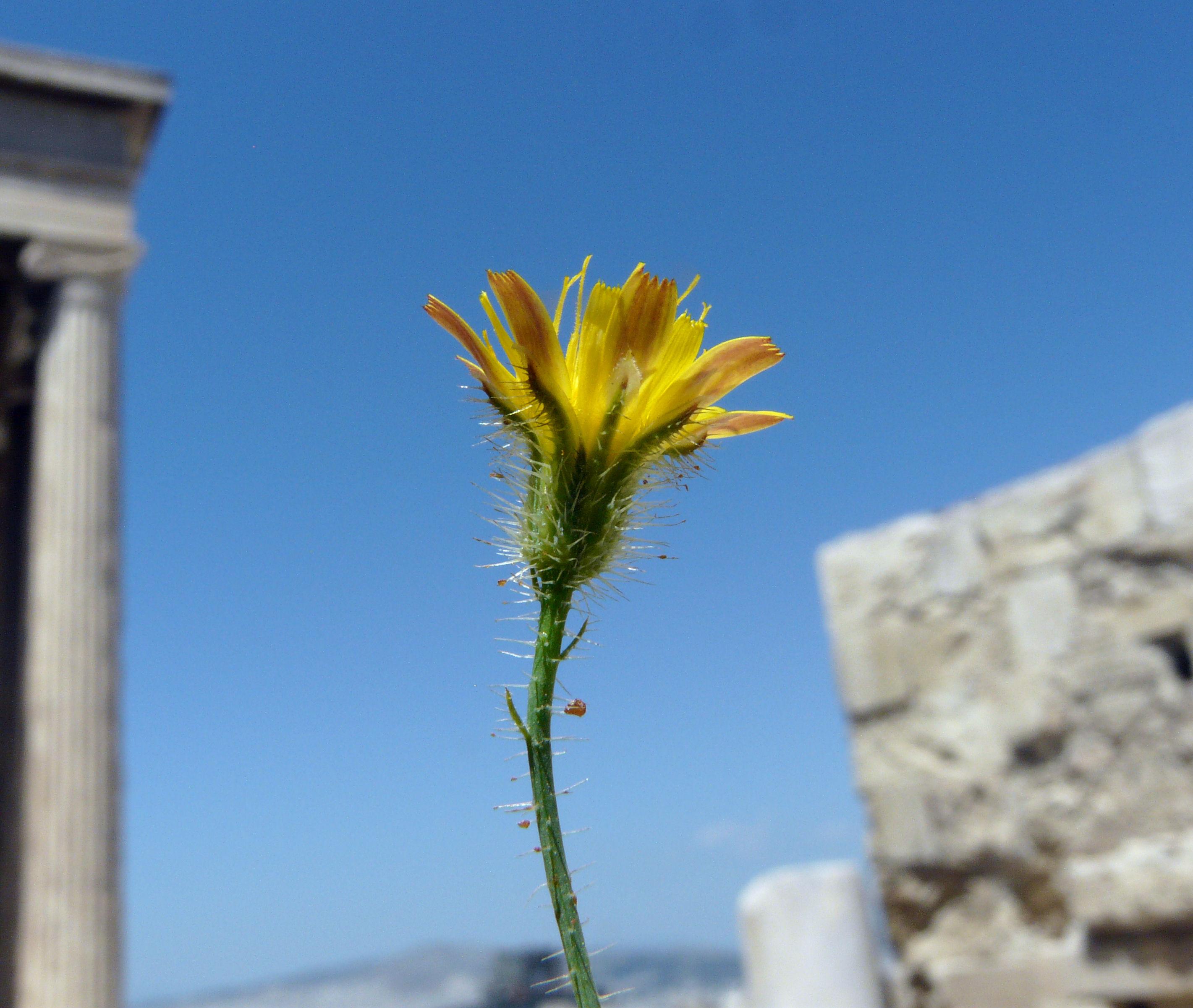 © Dipartimento di Scienze della Vita, Università degli Studi di Trieste<br>by Andrea Moro<br>Athens, Acropolis, Erechtheion, Attica, Greece, 05/05/2012<br>Distributed under CC-BY-SA 4.0 license.
