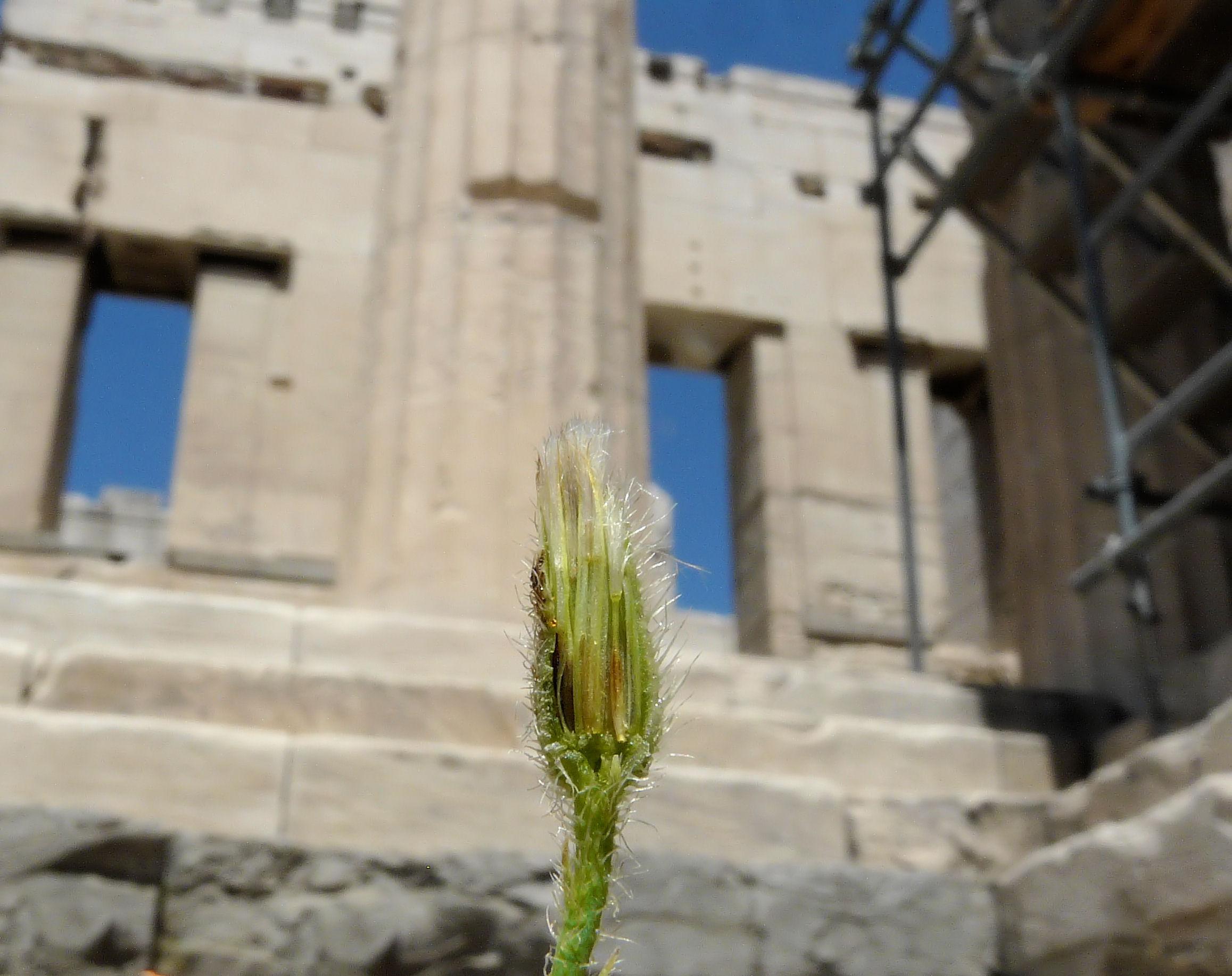 © Dipartimento di Scienze della Vita, Università degli Studi di Trieste<br>by Andrea Moro<br>Athens, Acropolis, Propylaea, Attica, Greece, 05/05/2012<br>Distributed under CC-BY-SA 4.0 license.