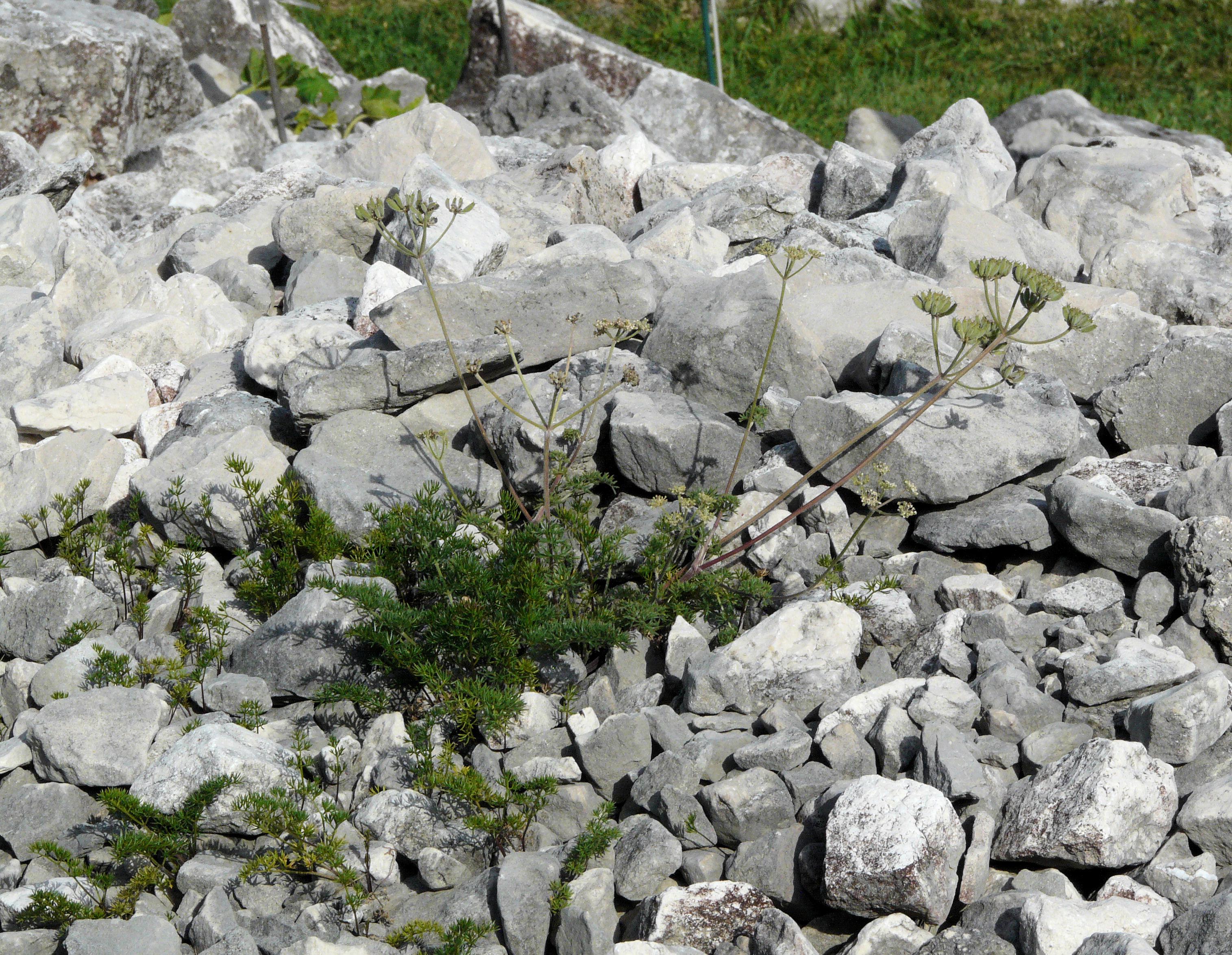 © Dipartimento di Scienze della Vita, Università degli Studi di Trieste<br>by Andrea Moro<br>Comune di Tambre d'Alpago, Giardino botanico alpino del Cansiglio 'Giangio Lorenzoni', BL, Veneto, Italia, 01/07/2012<br>Distributed under CC-BY-SA 4.0 license.