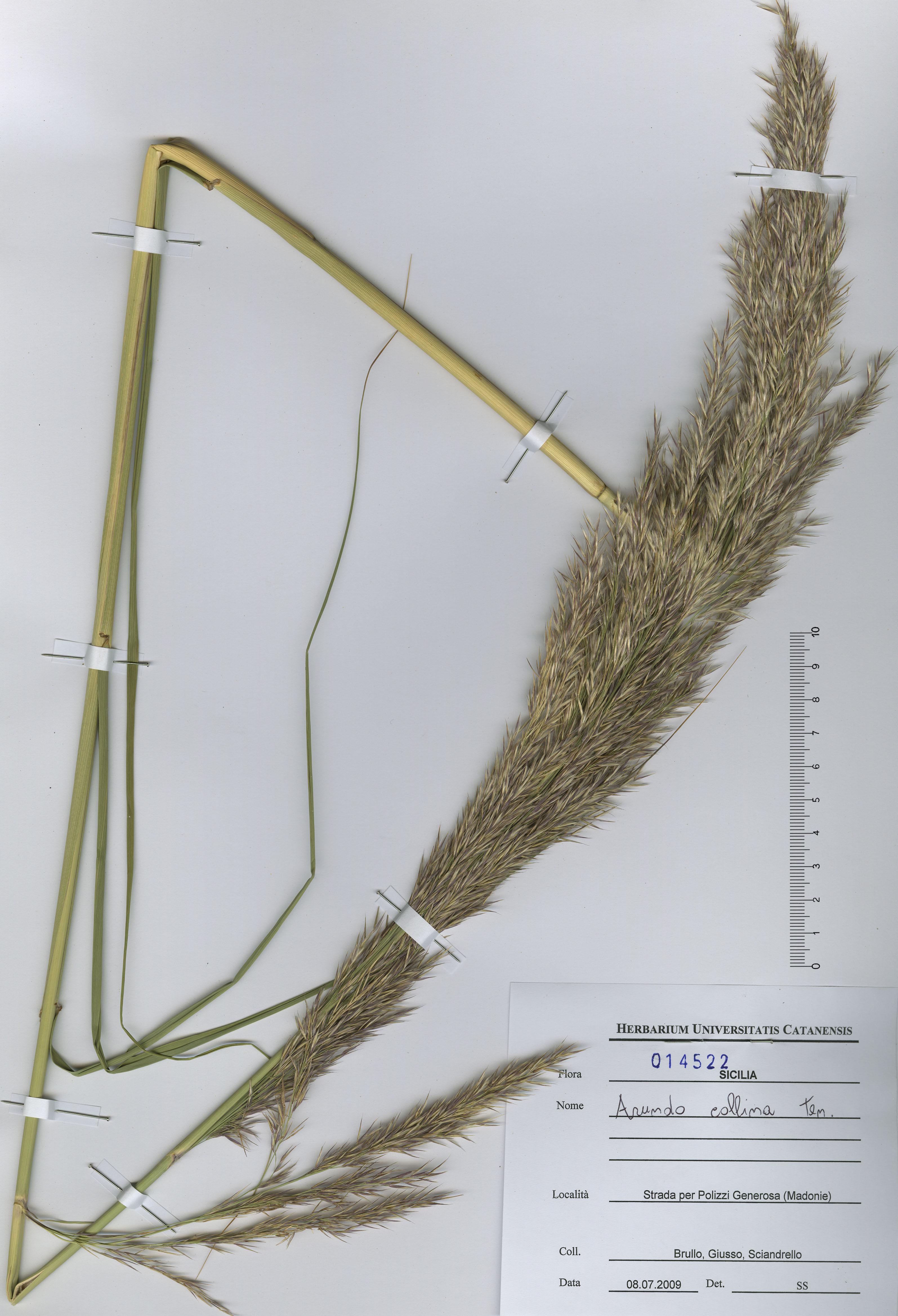 © Hortus Botanicus Catinensis - Herb. sheet 104522<br>