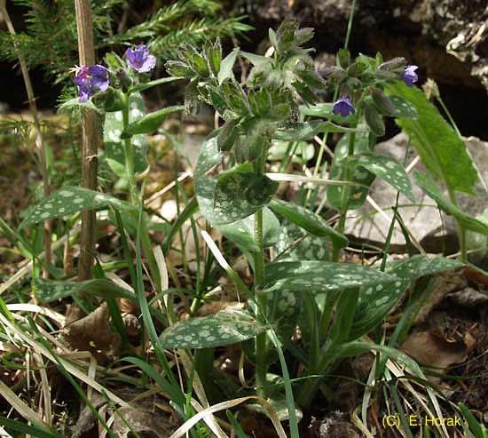 © E. Horak - http://flora.nhm-wien.ac.at/Seiten-Arten/Pulmonaria-stiriaca.htm<br>by E. Horak<br>