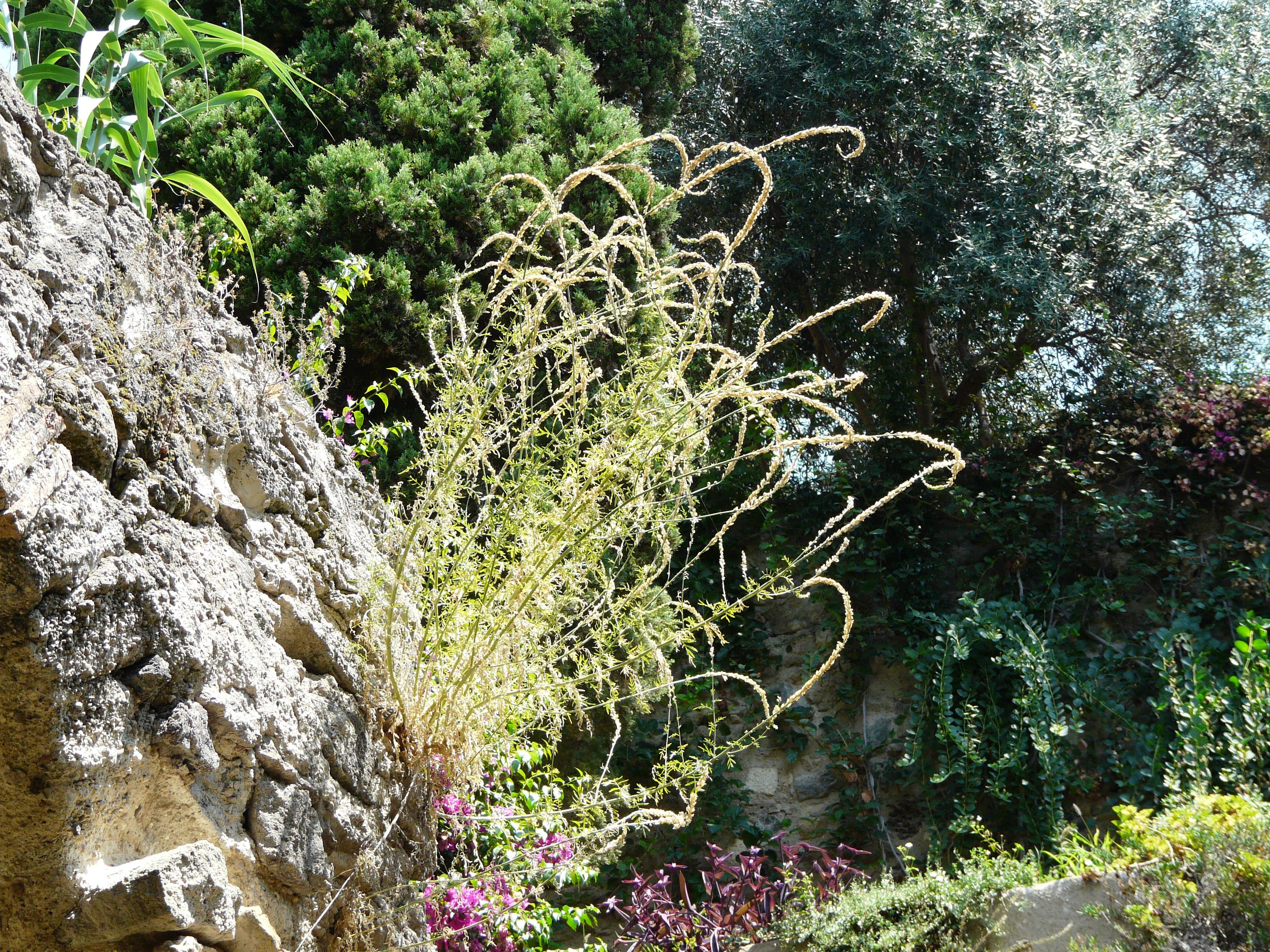 © Dipartimento di Scienze della Vita, Università degli Studi di Trieste<br>by Andrea Moro<br>Isola d'Ischia, Ischia Ponte, Castello Aragonese, NA, Campania, Italia, 20/07/2012<br>Distributed under CC-BY-SA 4.0 license.