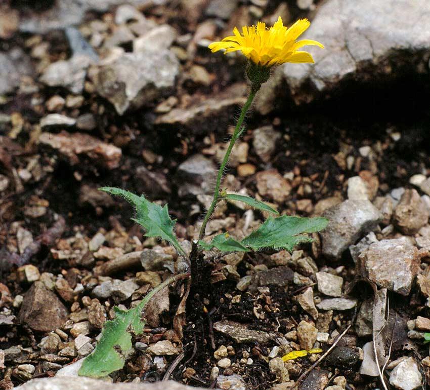 © A.Mrkvicka - http://flora.nhm-wien.ac.at/Seiten-Arten/Hieracium-pallescens.htm<br>by A.Mrkvicka<br>25.5.1996 / Niederösterreich / Rax - Brettschachen,