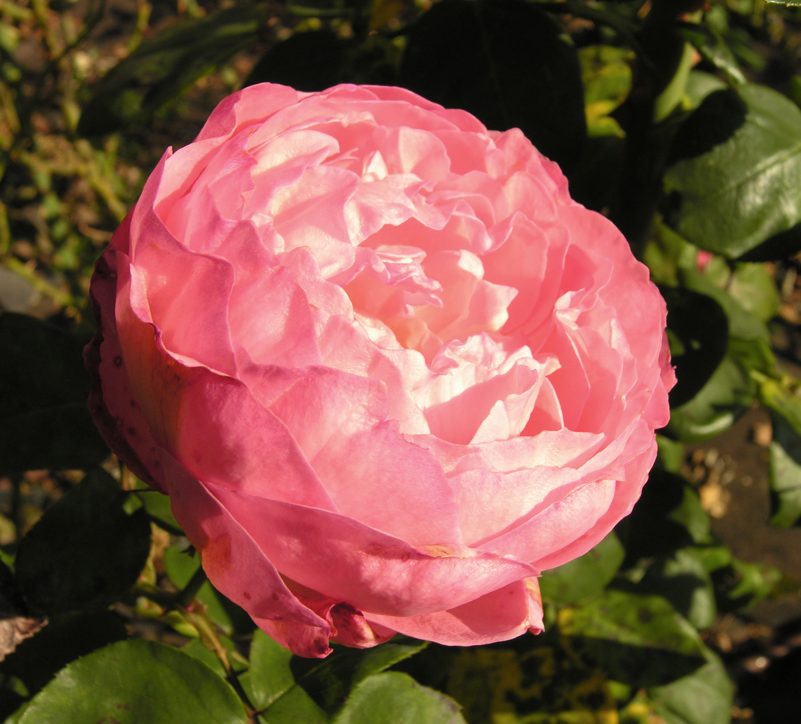 Rosa 39 panth re rose - Rosier panthere rose ...