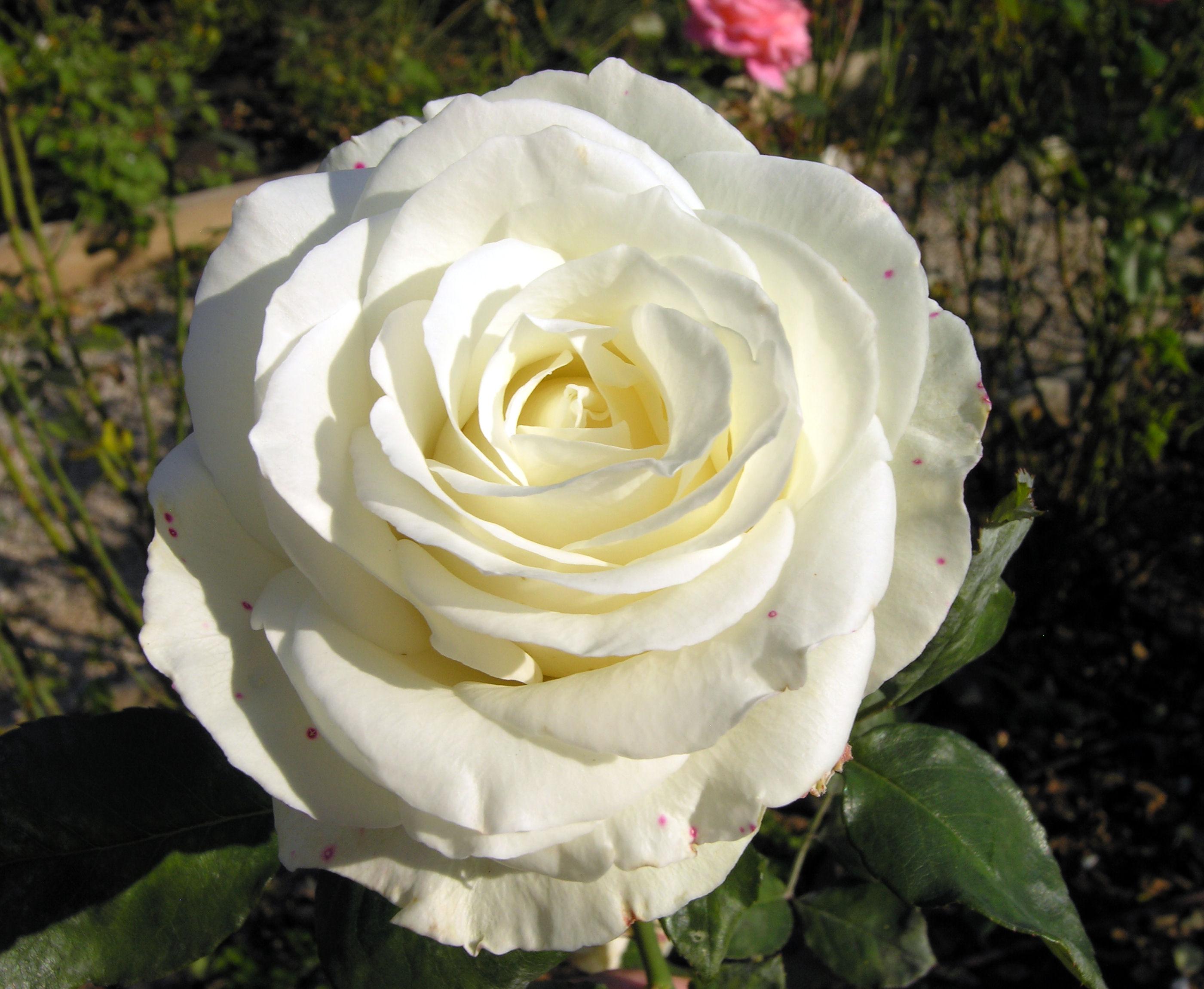 Rosa 39 casta diva - Casta diva san giovanni lupatoto ...