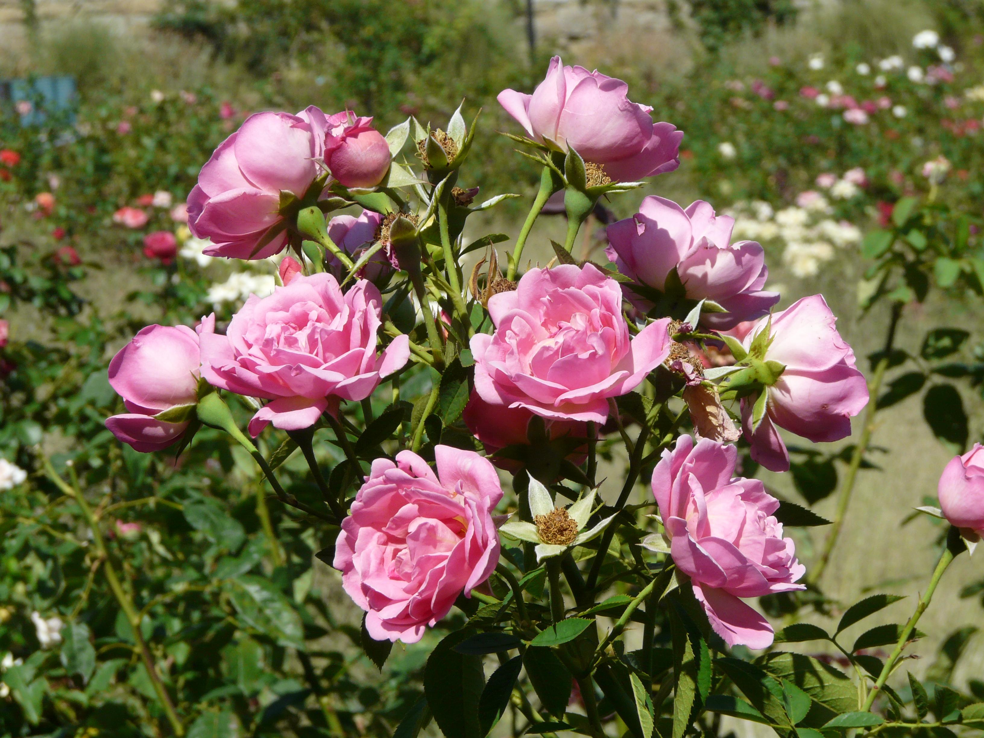 Rosa 39 g n ration jardin for Jardin rosa alcoy