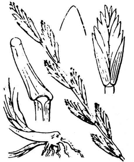 © Hippolyte Coste - Flore descriptive et illustrée de la France, de la Corse et des contrées limitrophes, 1901-1906 - Public domain<br>
