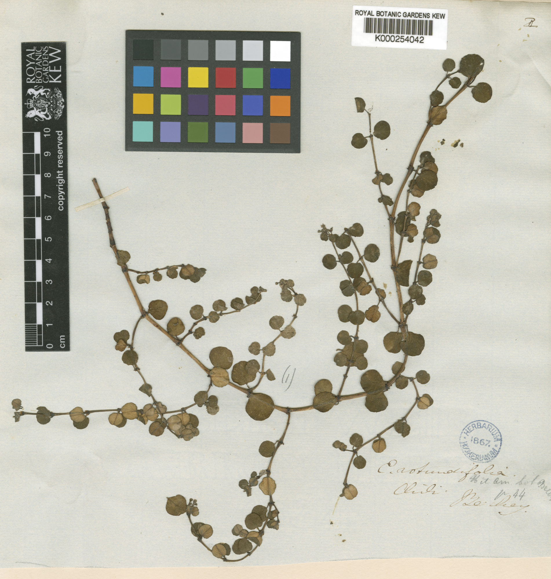 © The Board of Trustees of the Royal Botanic Gardens, Kew. K - Herbarium Catalogue - K000254042  Source: RBGK Herbarium Specimens – Free access<br>