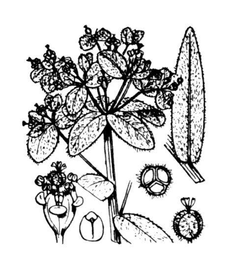 © Hippolyte Coste - Flore descriptive et illustrée de la France, de la Corse et des contrées limitrophes, 1901-1906 – Public domain<br>