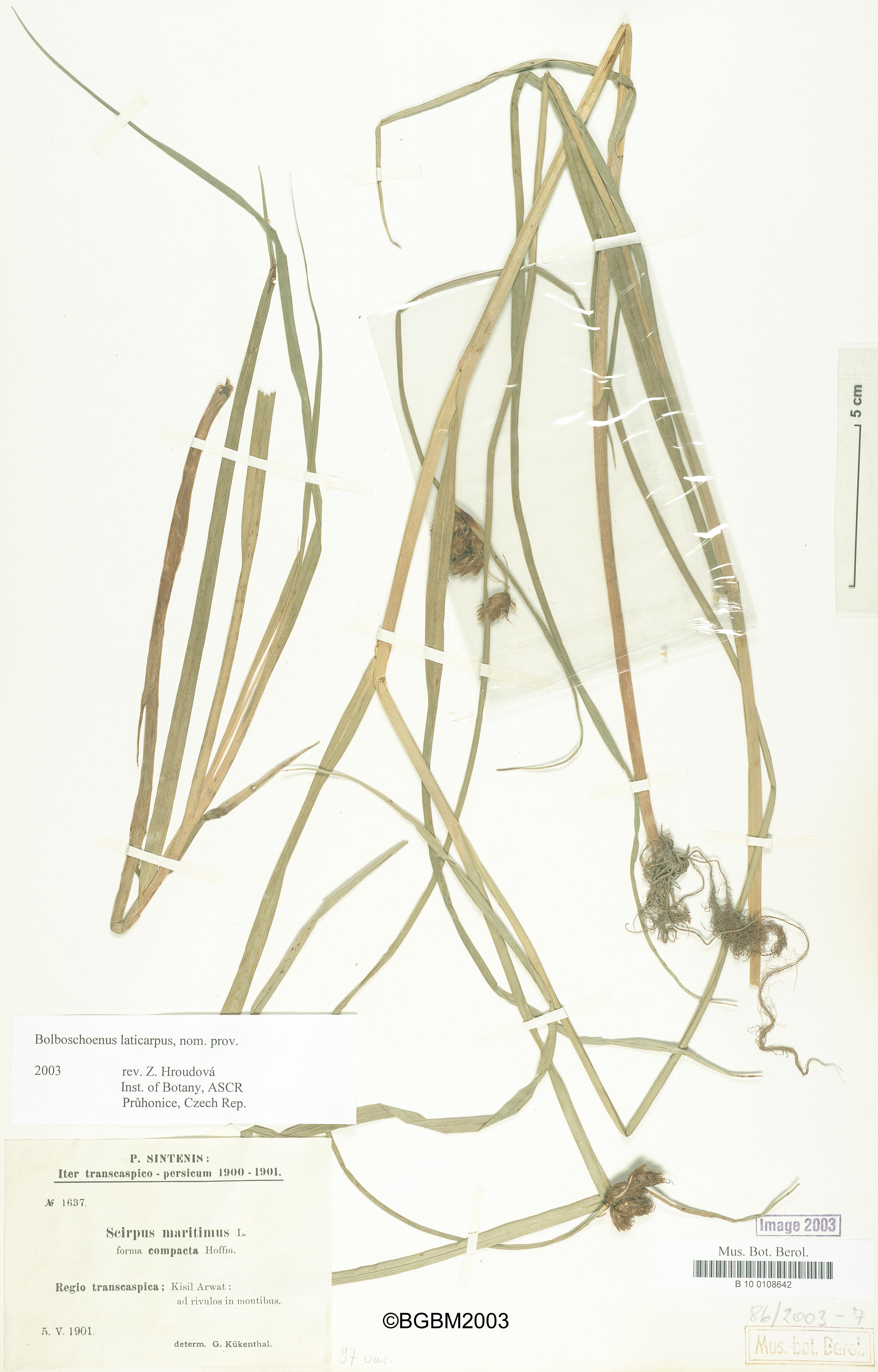 © Röpert, D. (Ed.) 2000- (continuously updated): Digital specimen images at the Herbarium Berolinense. - Published on the Internet http://ww2.bgbm.org/herbarium/ (Barcode: B 10 0108642 / ImageId: 215934) [accessed 24-Dec-12].<br>